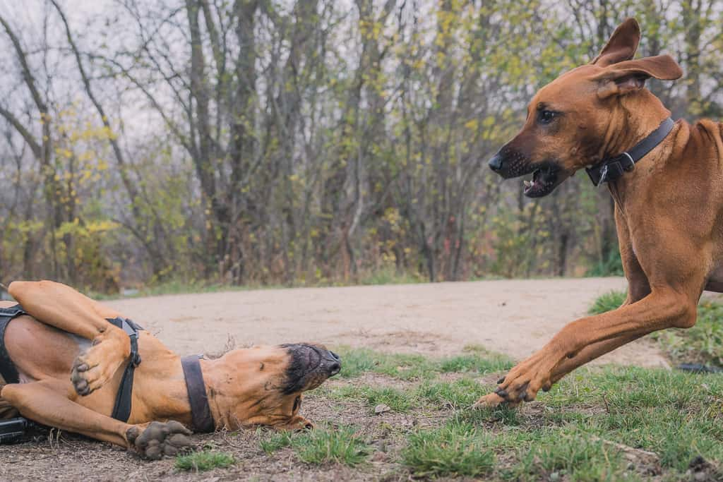 Rhodesian Ridgeback, blog, adventure, chicago, marking our territory, prairie wolf