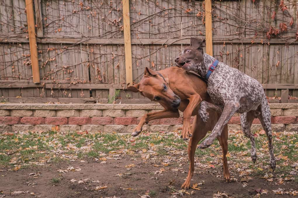 Rhodesian Ridgeback, German Shorthaired Pointer, Chicago, Marking Our Territory