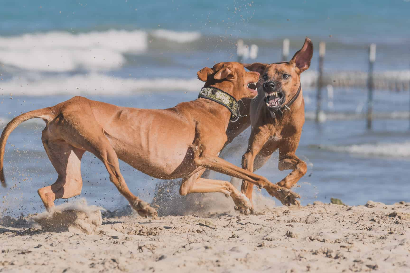 Rhodesian Ridgeback, Chicago, Montrose Dog Beach, Adventure, Marking Our Territory