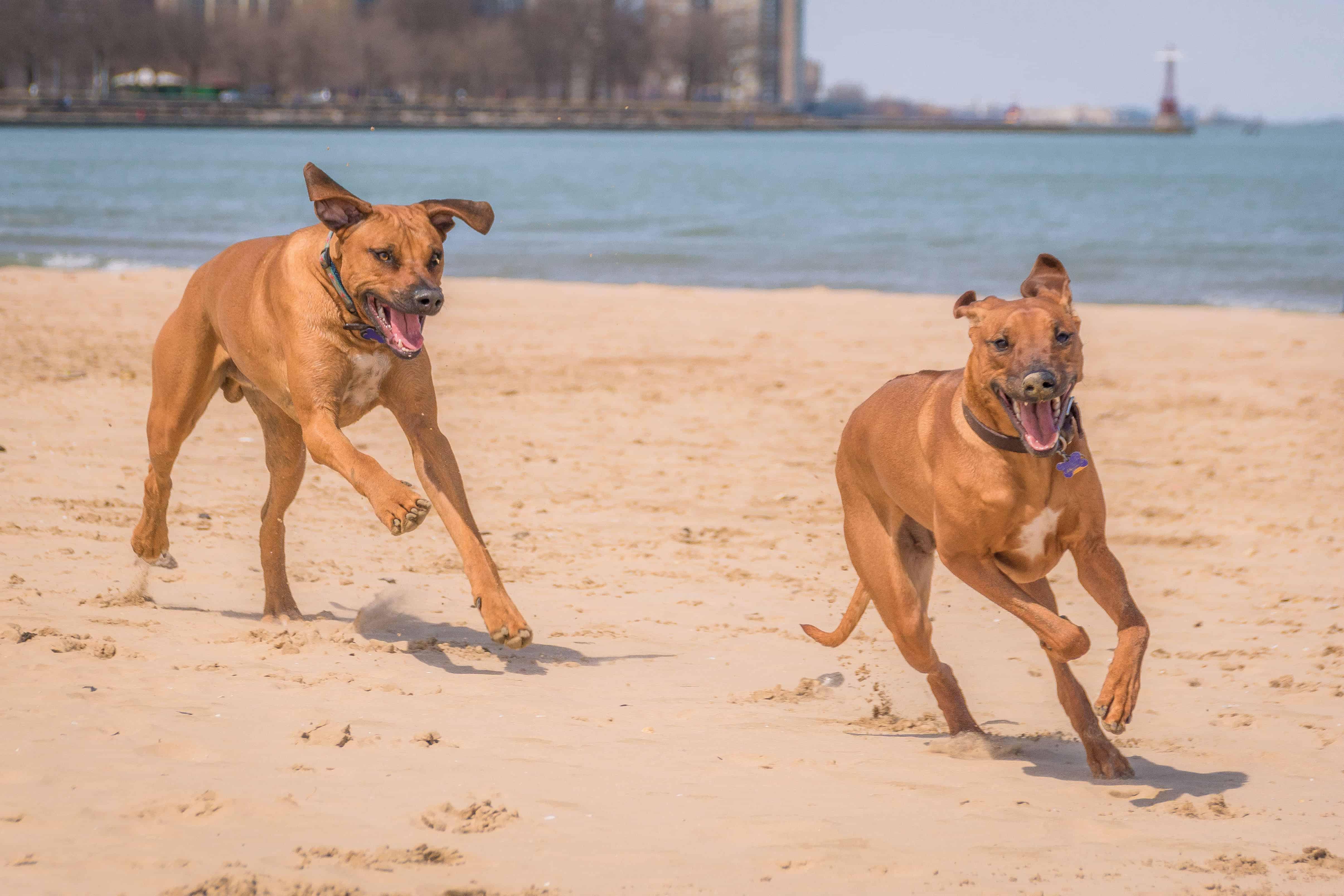 rhodesian ridgeback, run with dog, chicago, adventure