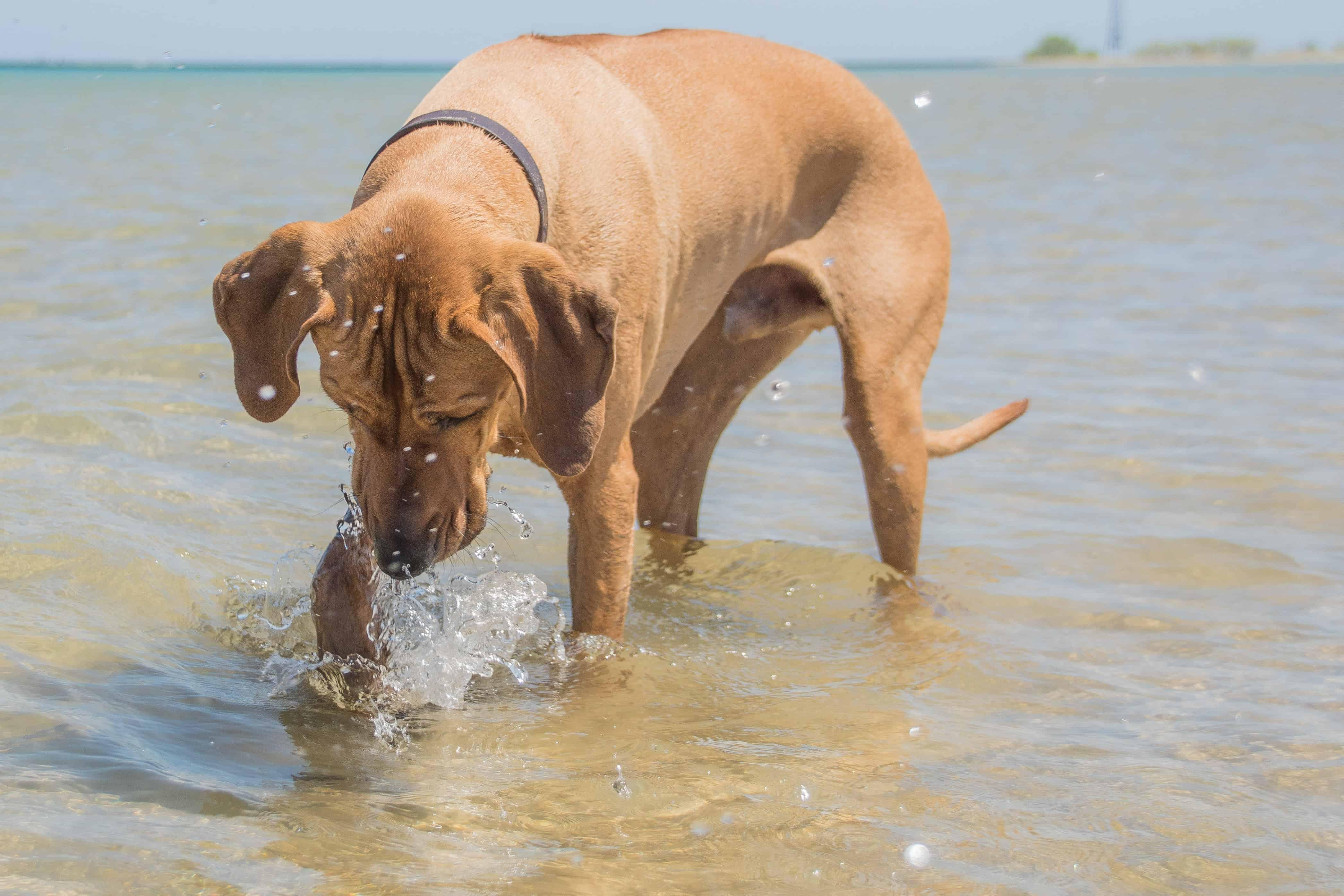 Rhodesian Ridgeback, cute, puppy, chicago, dog beach, adventure