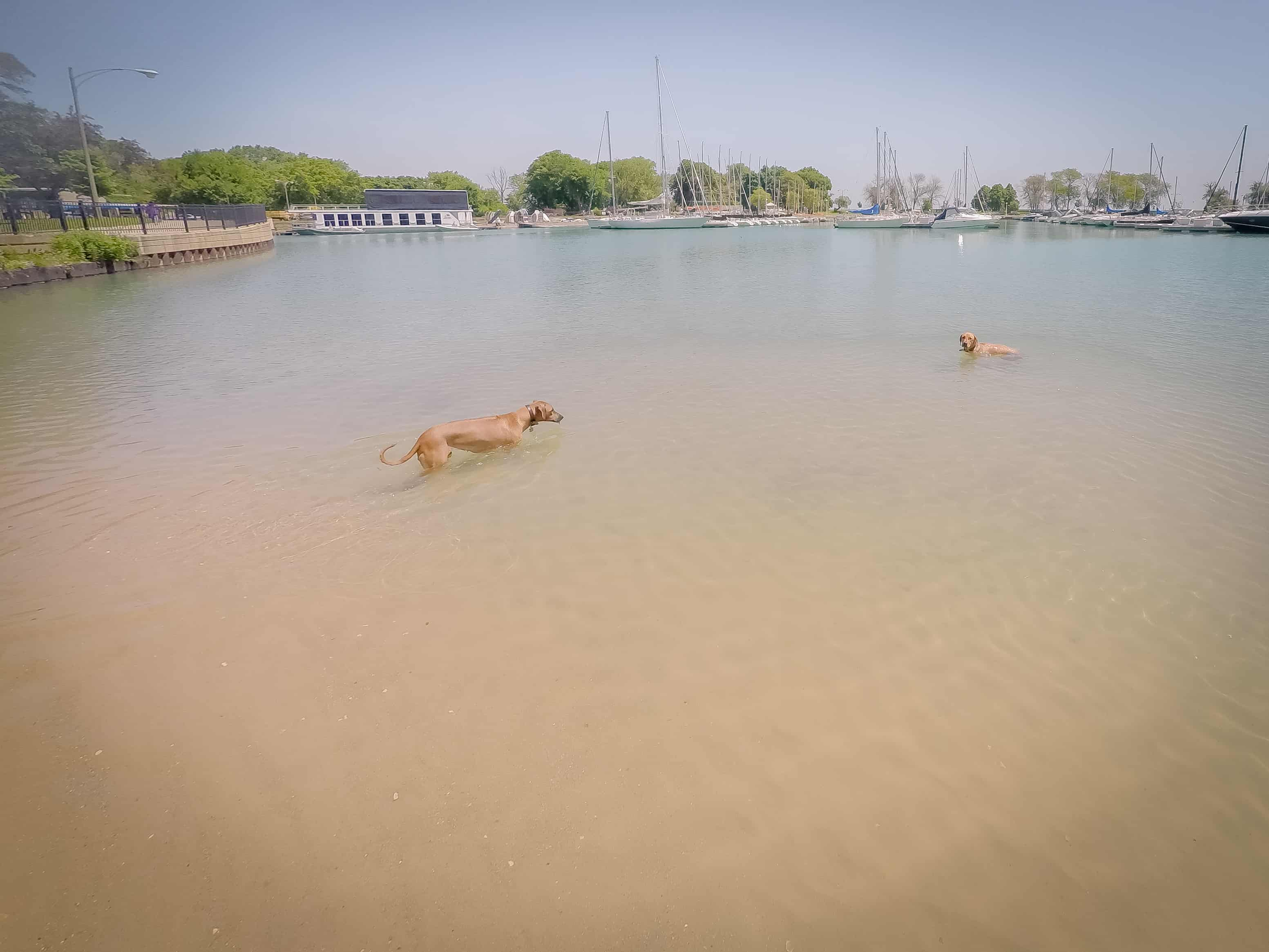 Rhodesian Ridgeback, cute, puppy, chicago, dog beach, adventure.