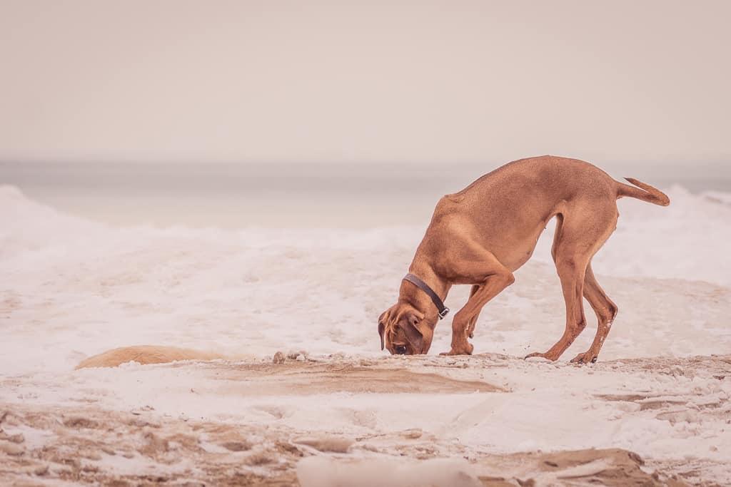 Rhodesian Ridgeback, chicago, blog, montrose dog beach, adventure