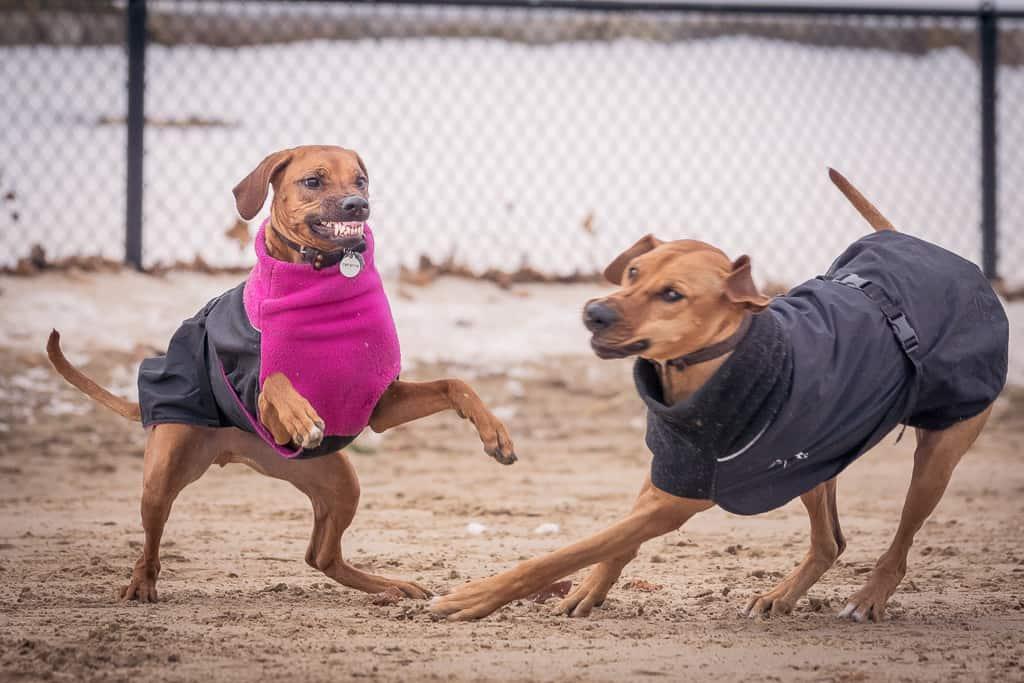 Rhodesian Ridgeback, puppy, chicago, blog, cute, montrose dog beach