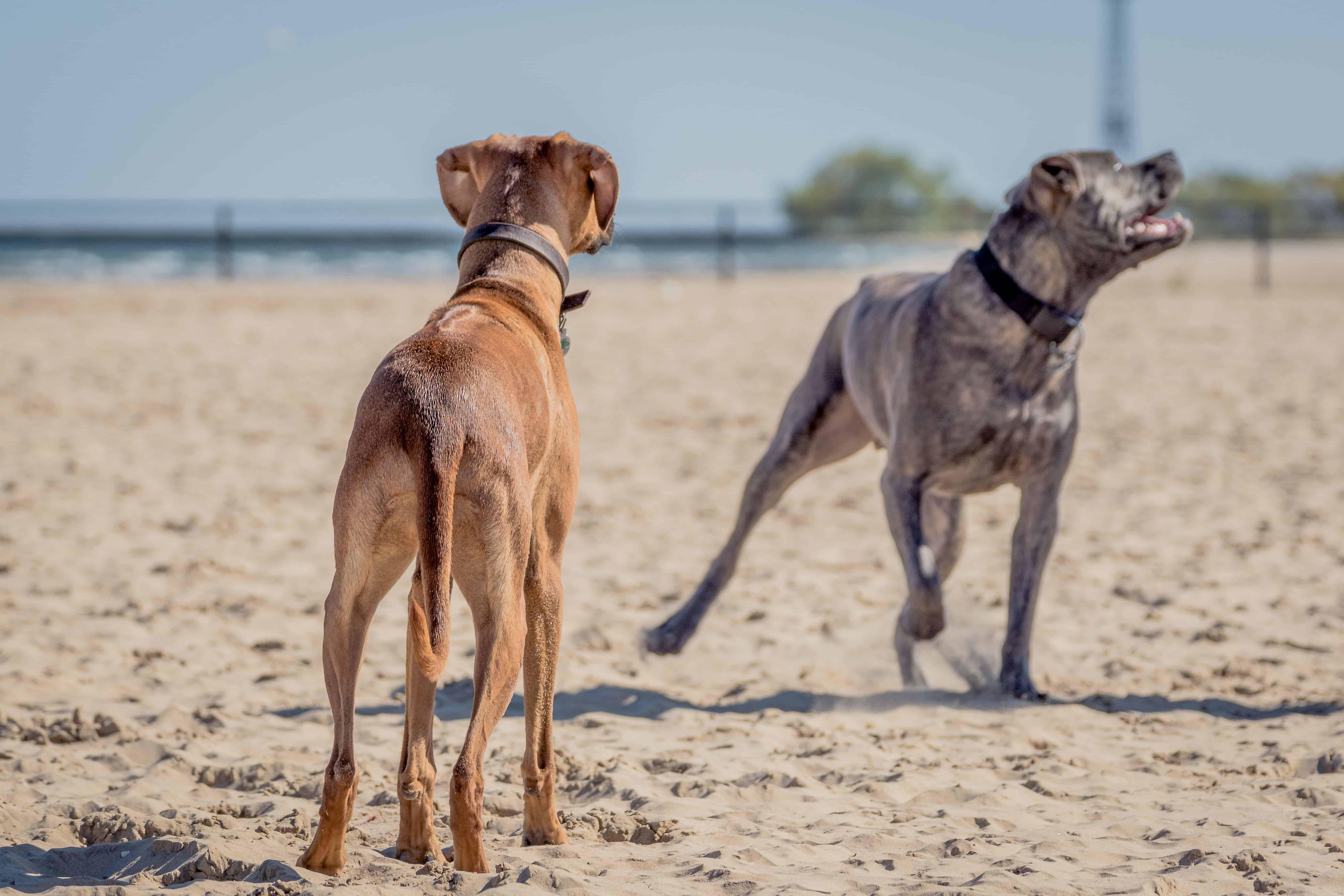 Rhodesian Ridgeback, Montrose Dog Beach, Chicago