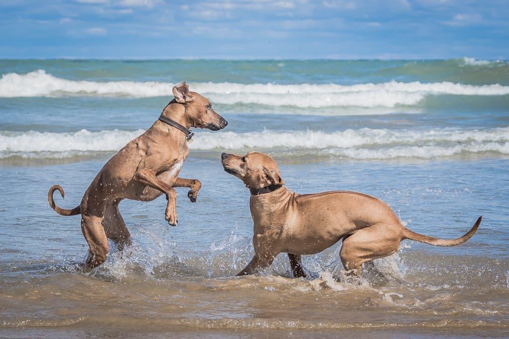 Rhodesian Ridgeback, blog, puppy, adventure, chicago