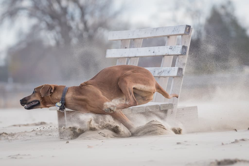 Rhodesian Ridgeback, chicago, montrose dog beach, blog, adventure