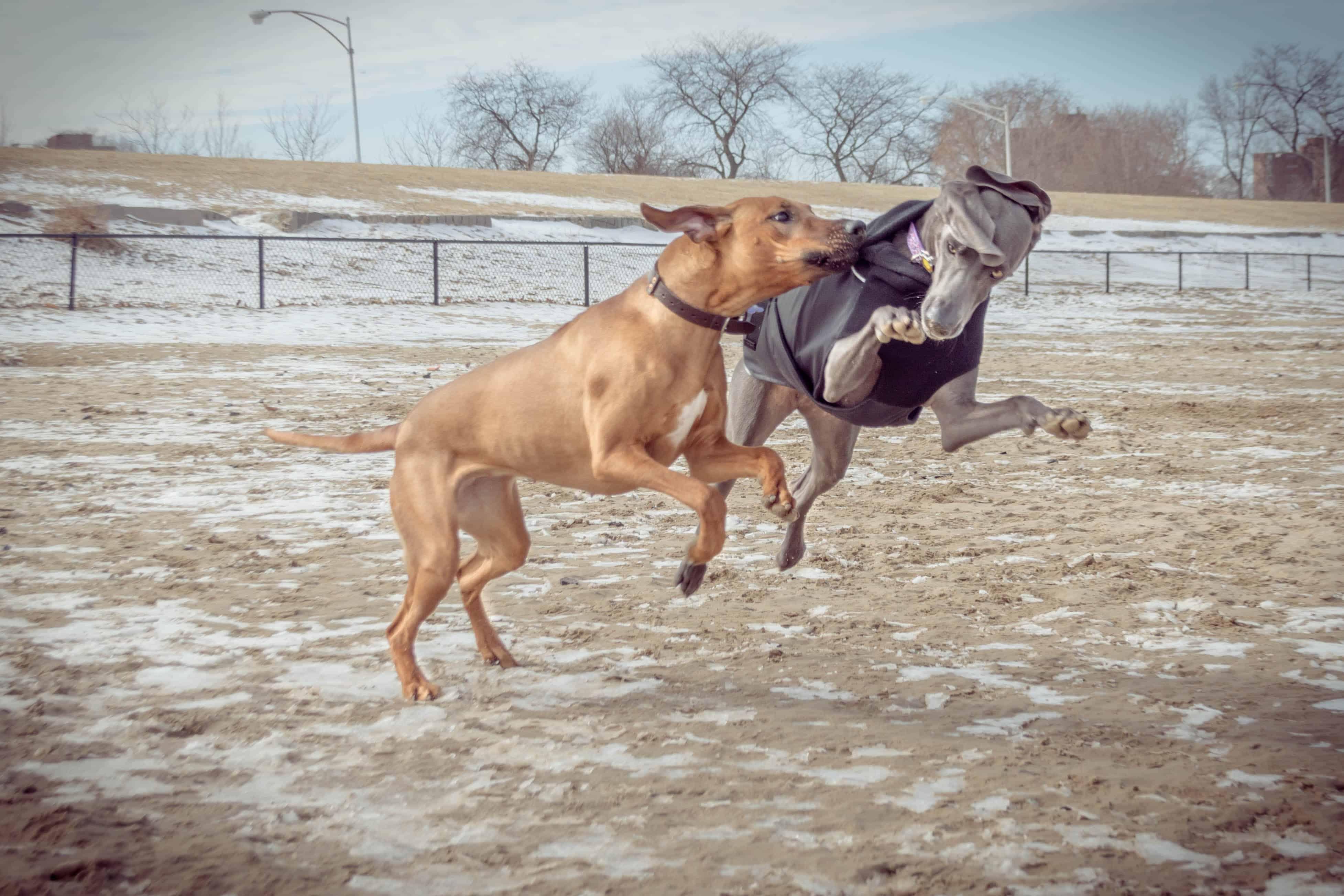 Rhodesian Ridgeback, puppy, dog beach, montrose dog beach, chicago,
