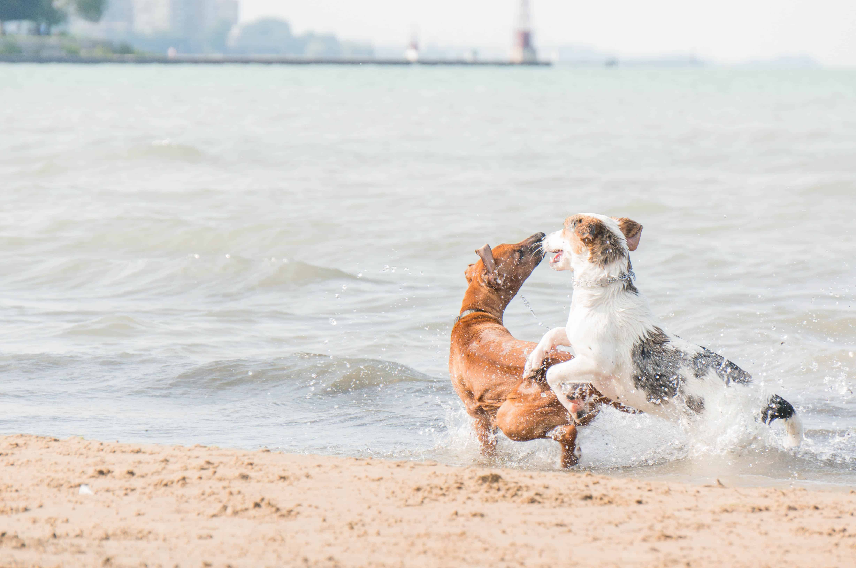 Rhodesian Ridgeback, puppy, dog beach, chicago, adventure, pet friendly, marking our territory