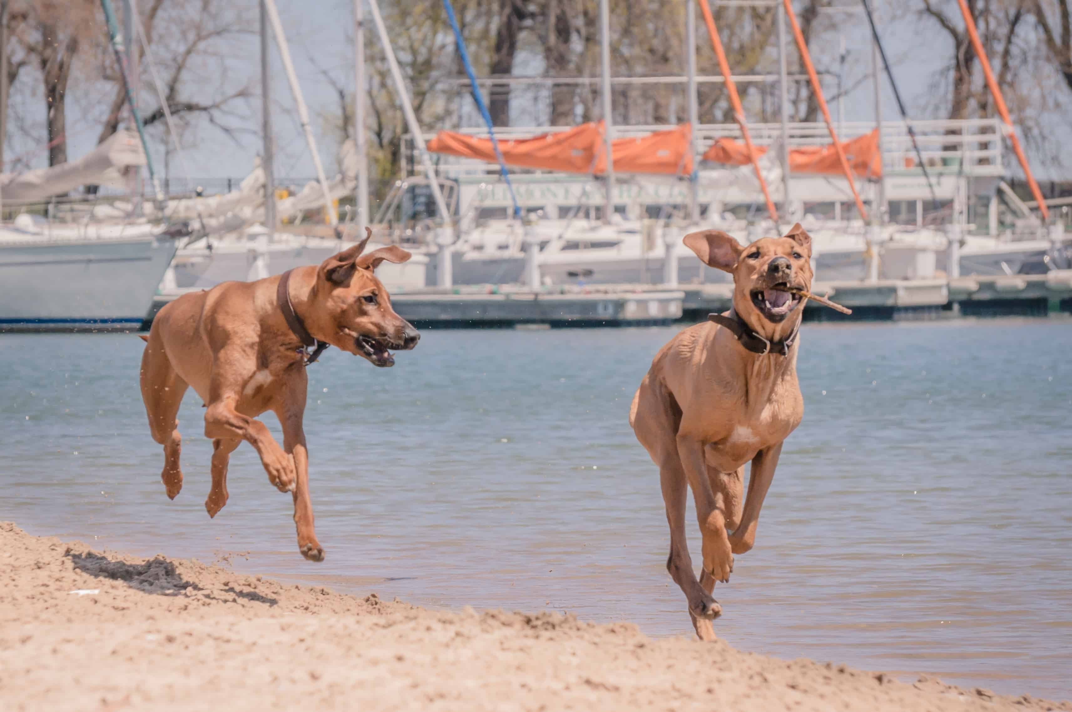 Rhodesian Ridgeback, puppy, chicago, adventure, dog beach