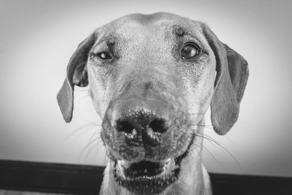 Rhodesian Ridgeback, blog, chicago, puppy