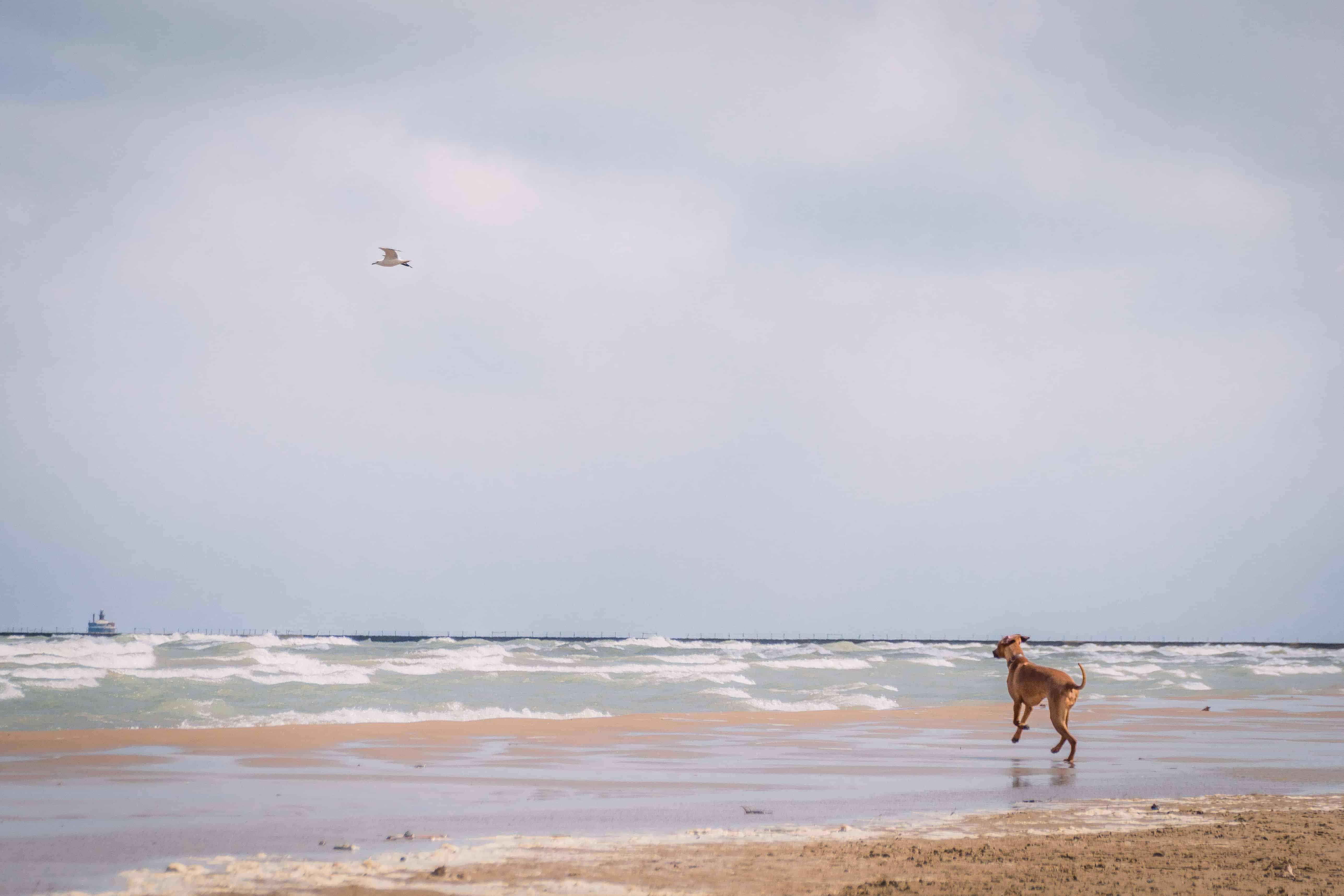 Rhodesian Ridgeback, puppy, montrose beach, chicago, adventure,  marking our territory