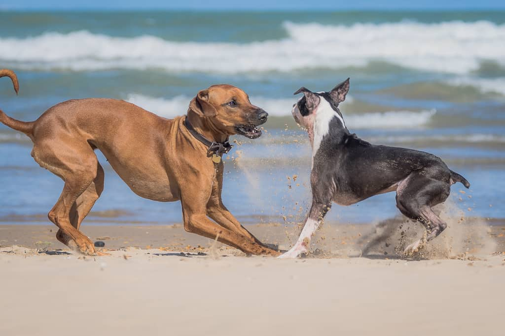 montrose dog beach, chicago, rhodesian ridgeback, puppy, dog friendly