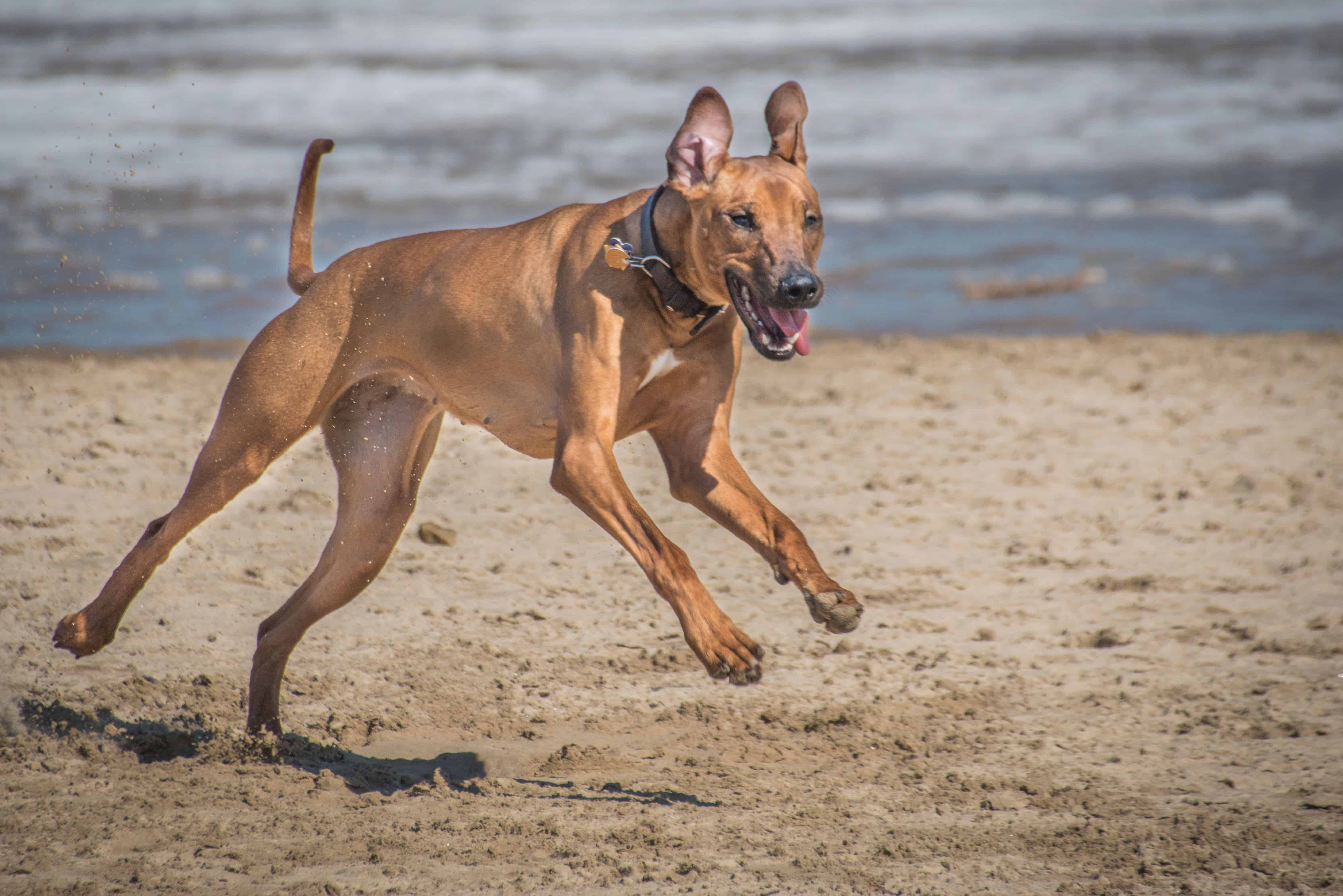 Rhodesian Ridgeback, puppy, montrose beach, chicago, adventure,  marking our territory