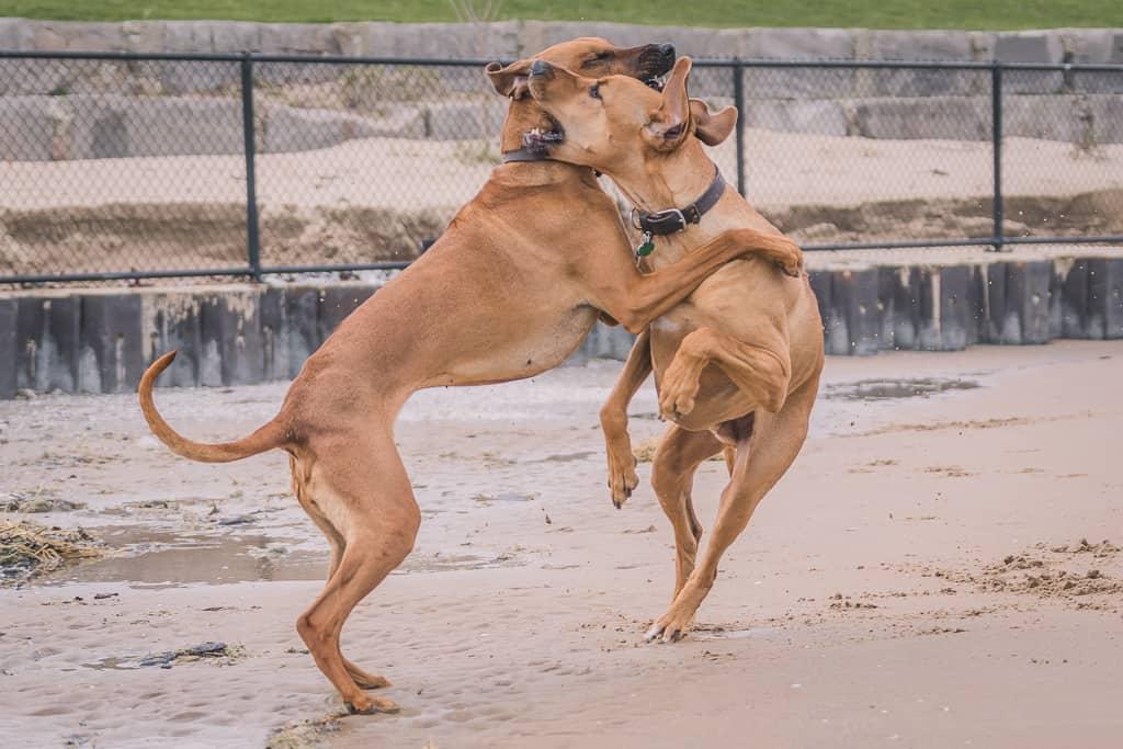 Rhodesian Ridgeback, blog, montrose dog beach, chicago, adventure