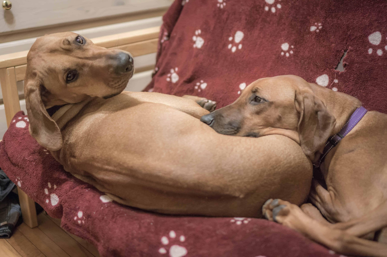 Rhodesian Ridgeback, puppy, blog, adventure