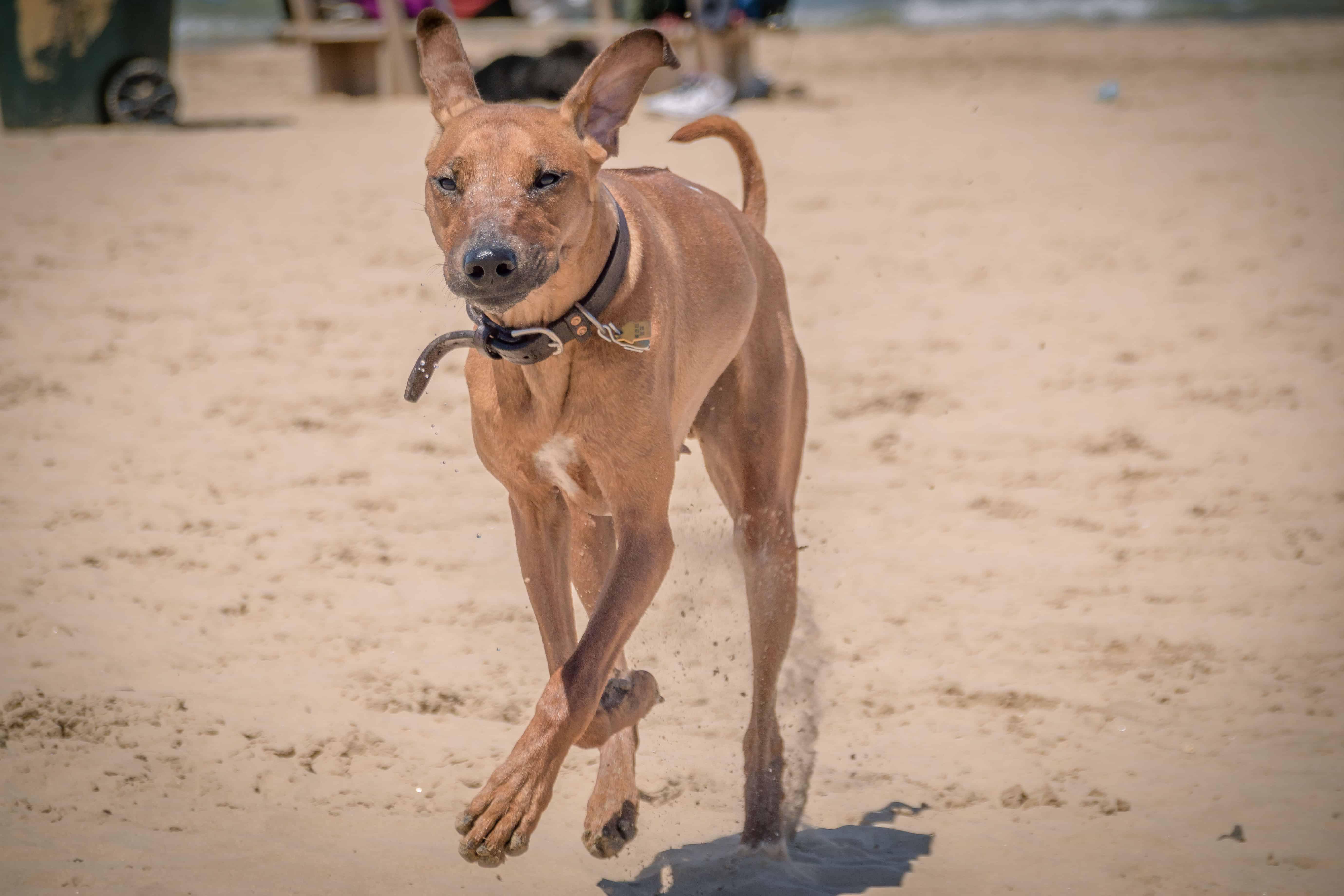Rhodesian Ridgeback, puppy, montrose dog beach, chicago, adventure
