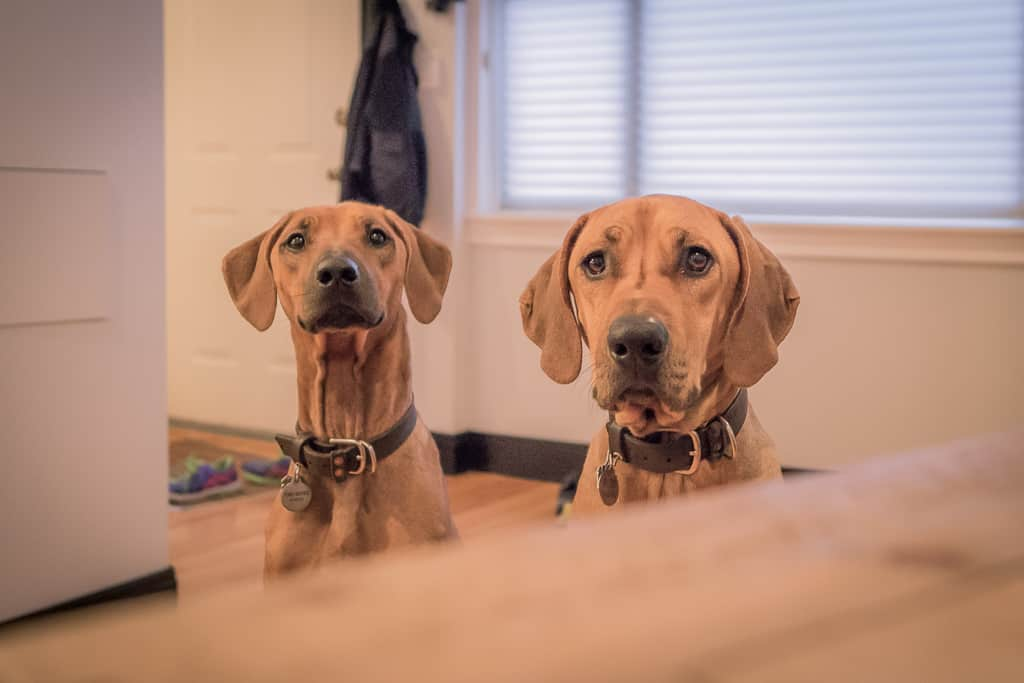 Rhodesian Ridgeback, blog, chicago, cute, puppy