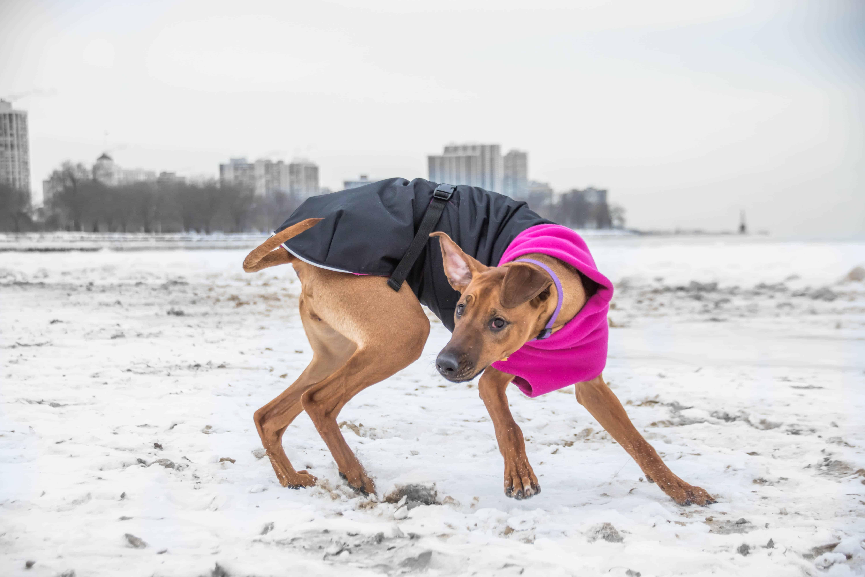 Rhodesian Ridgeback, chicago, puppy, adventure, dogs, marking our territory,  dog beach, montrose beach