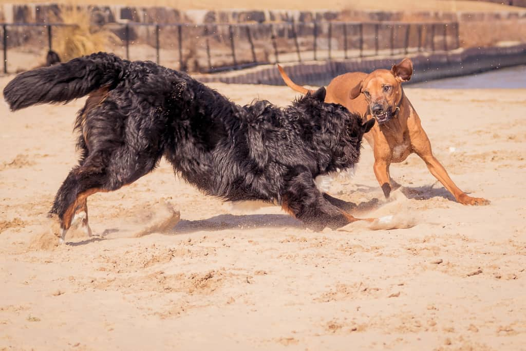 Montrose Dog Beach, Bernese Mountain Dog, Chicago
