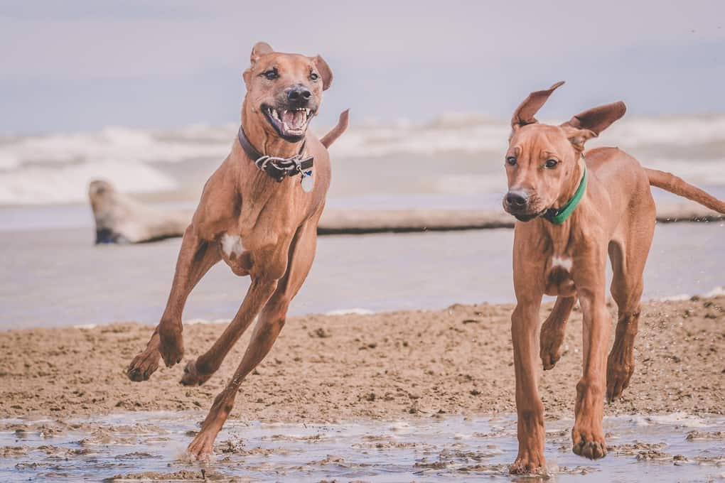 Rhodesian Ridgeback, Chicago, Puppy, Montrose Dog Beach, Marking Our Territory