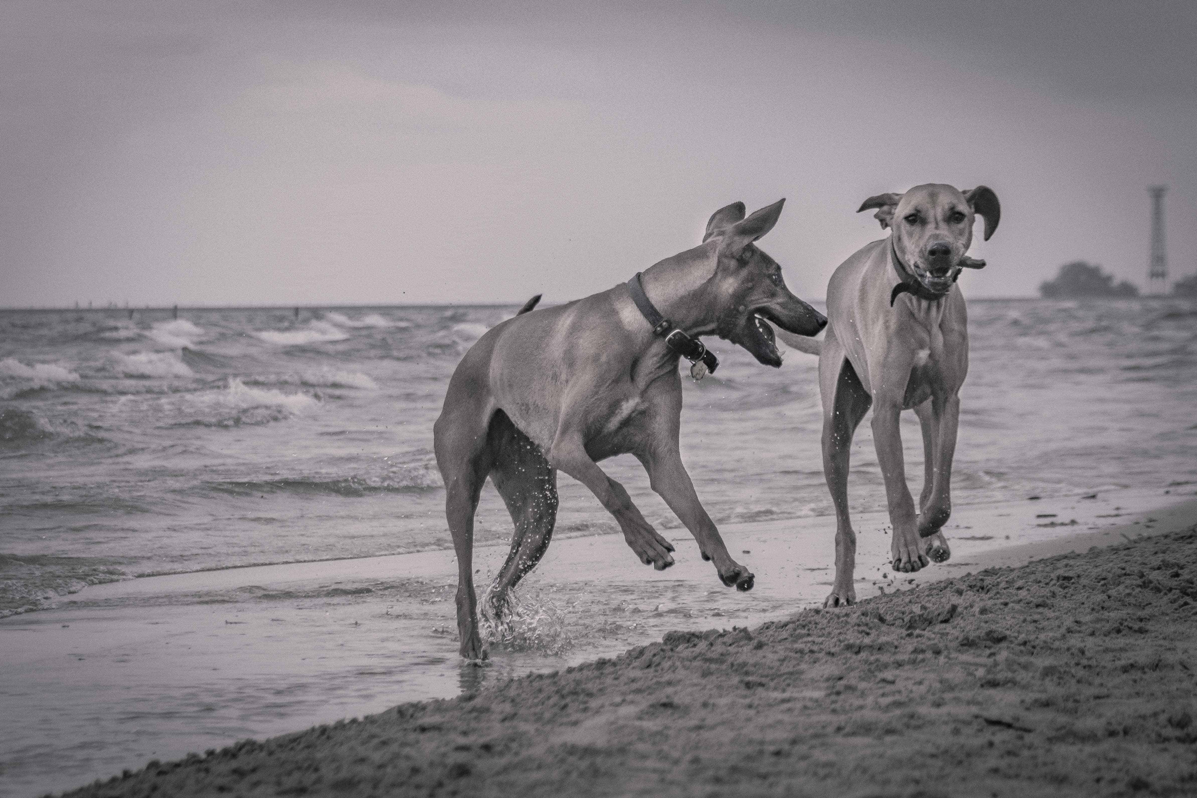 Rhodesian Ridgeback, chicago, montrose dog beach, adventure