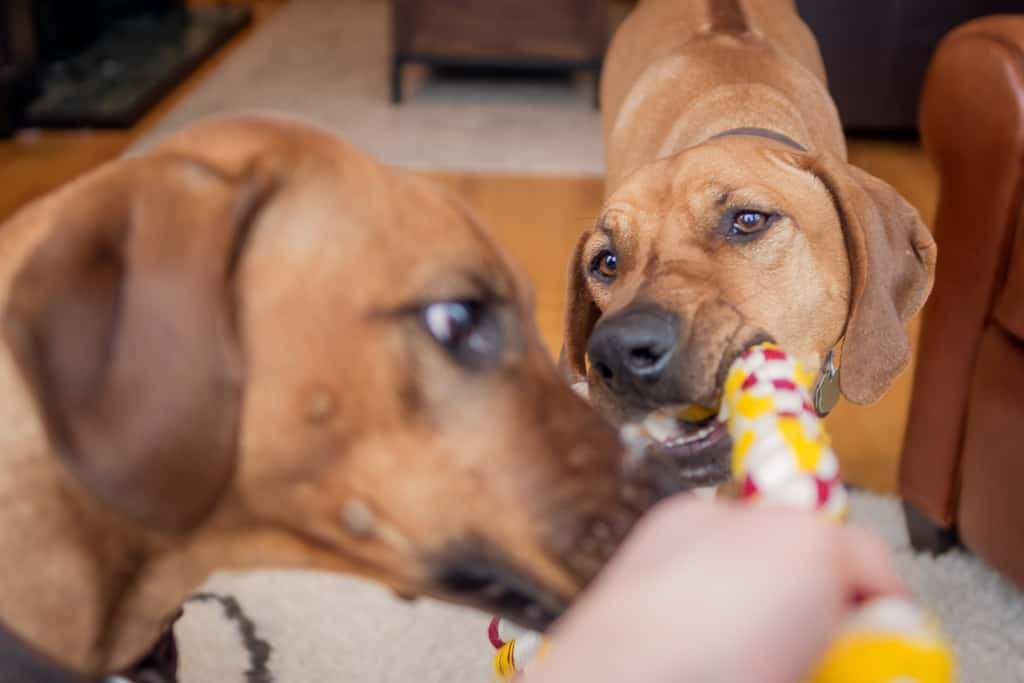 Rhodesian Ridgeback, puppy, cute, chicago, blog