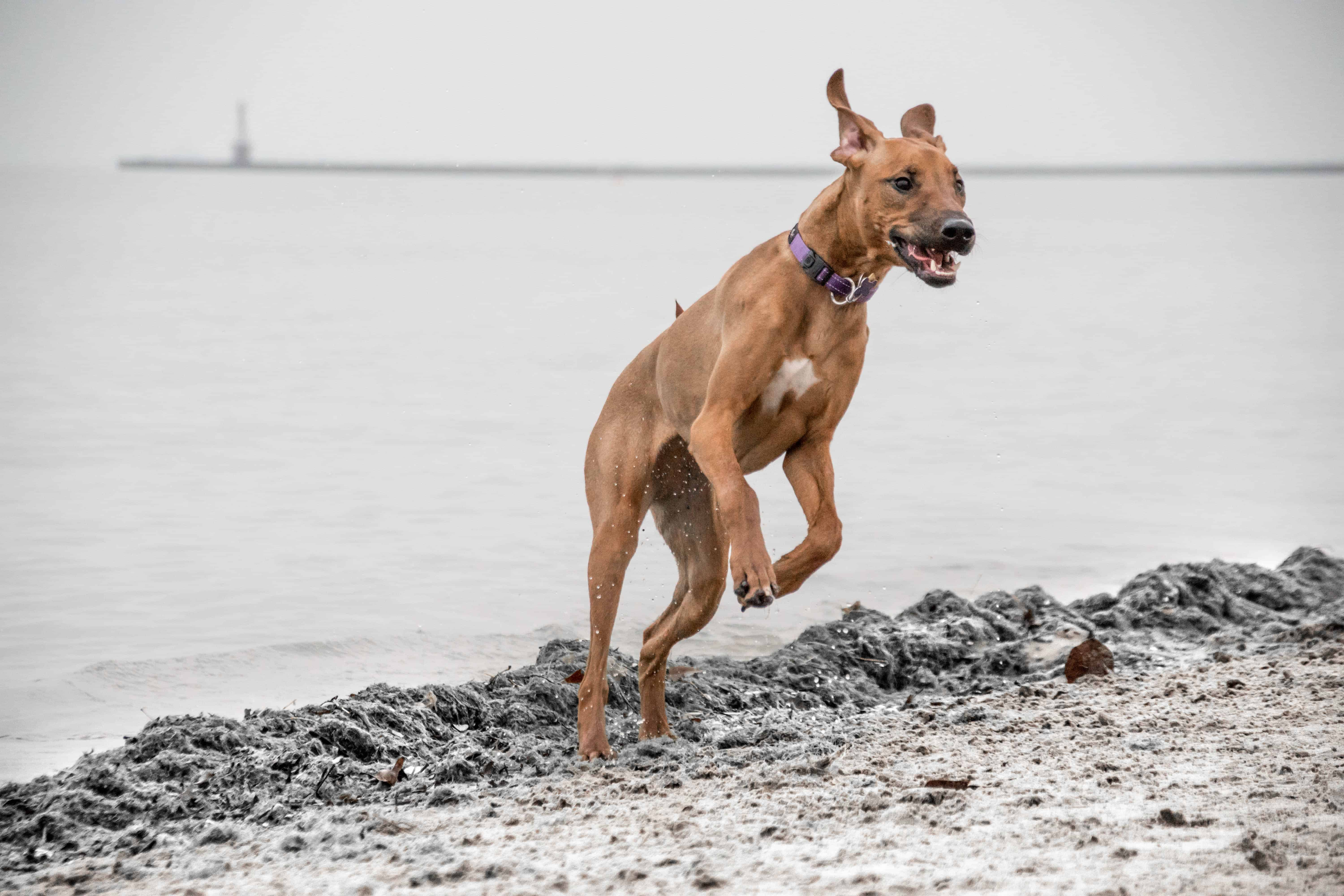 Rhodesian Ridgeback, puppy, beach, Chicago