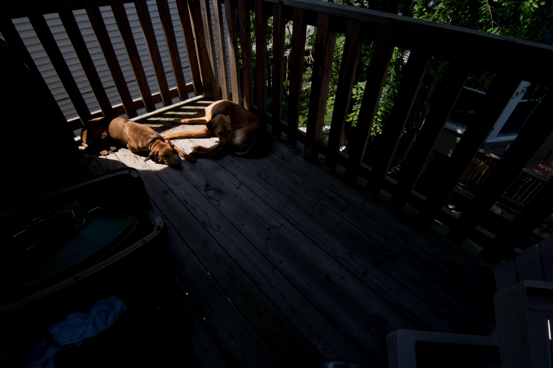 Rhodesian Ridgeback, puppy, cute, chicago