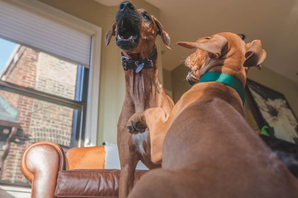 Rhodesian Ridgeback, Chicago, puppy, marking our territory, penny, zeo