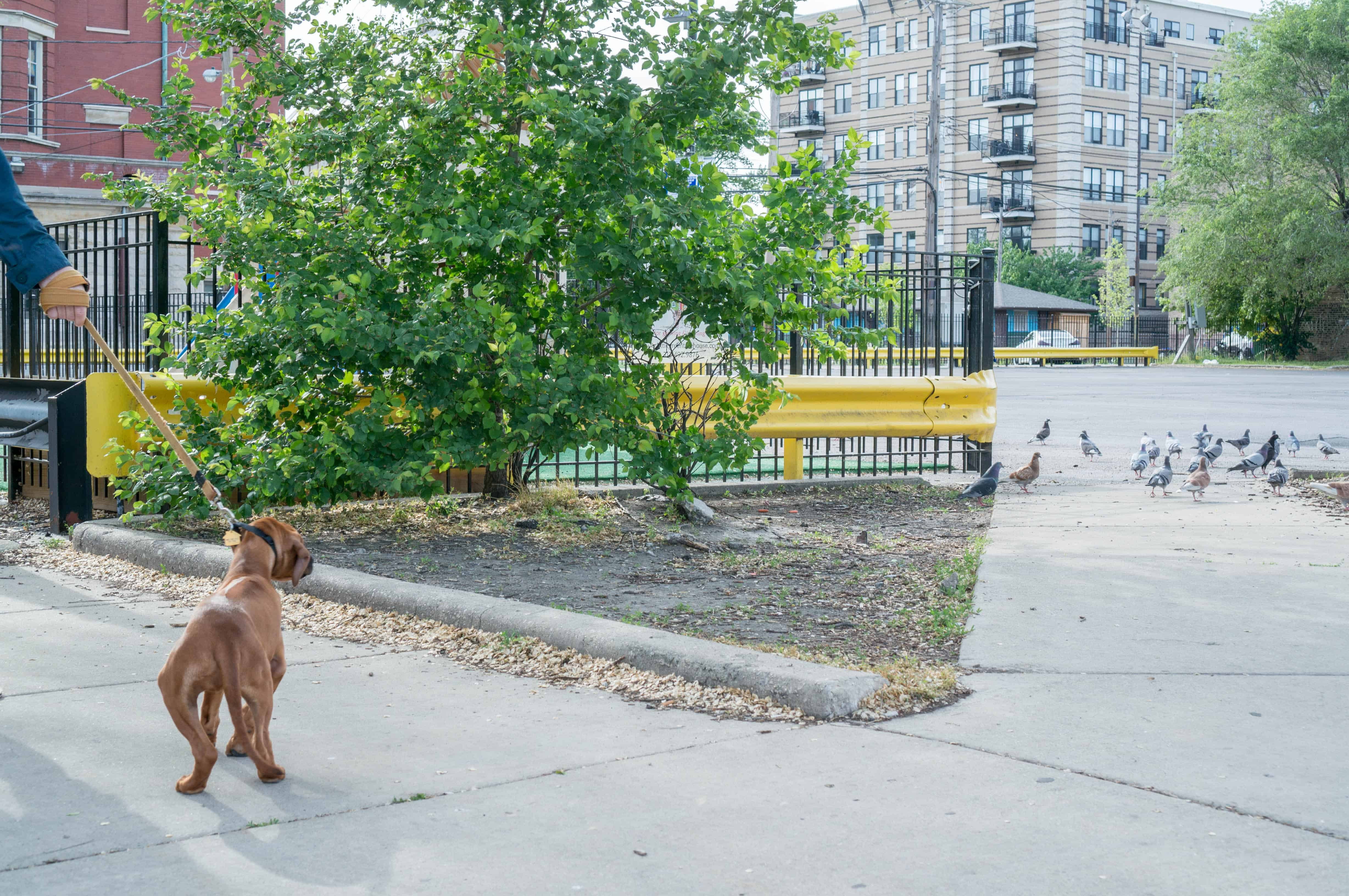 Rhodesian Ridgeback puppy, dogs, marking our territory, adventure, chicago