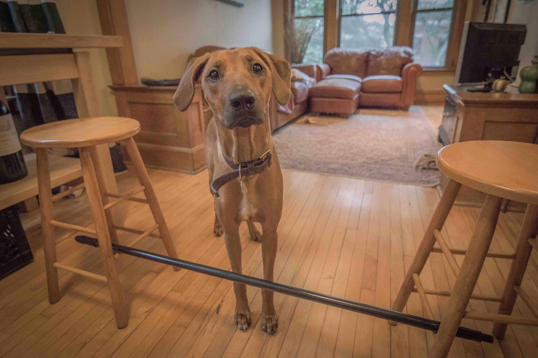 Rhodesian RIdgeback, puppy, cute, training, chicago