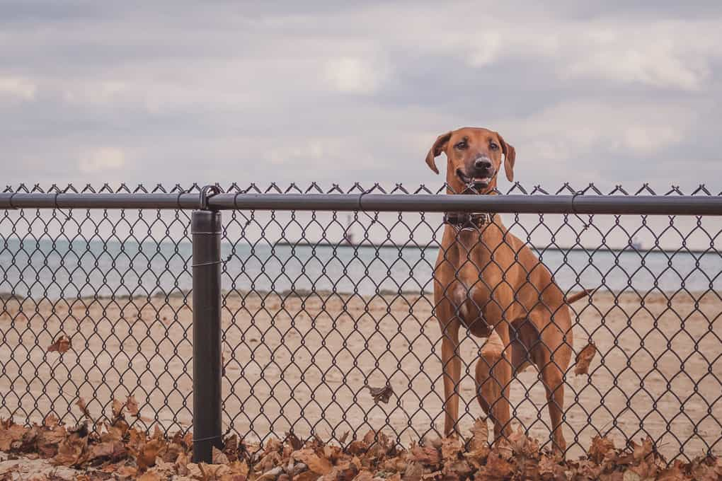 Rhodesian Ridgeback, Montrose Dog Beach, Chicago, Adventure, Marking Our Territory
