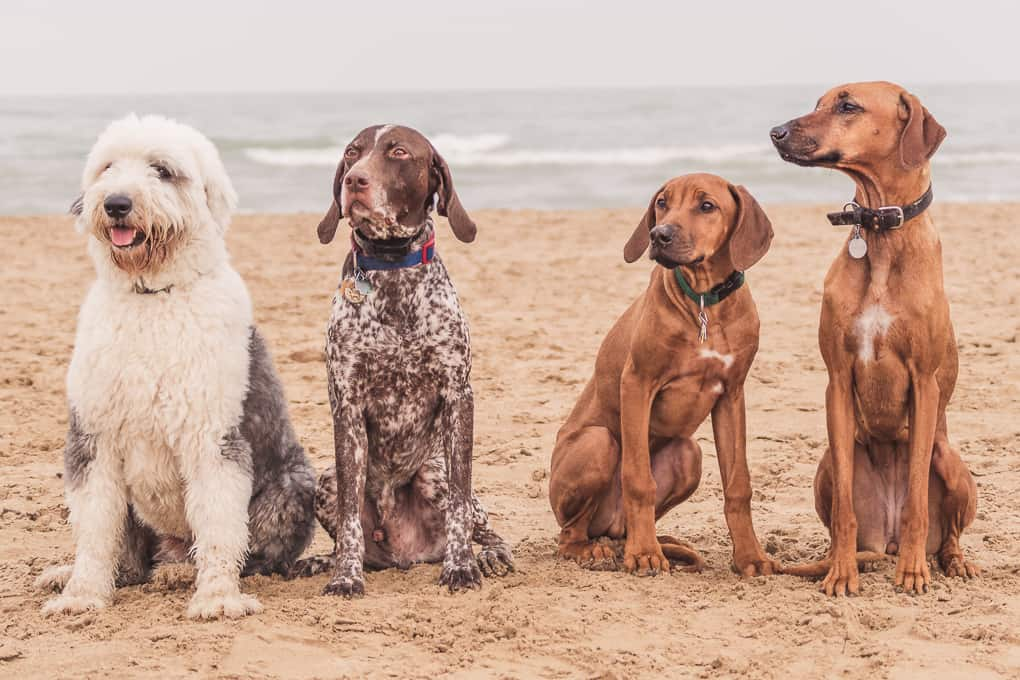 Montrose Dog Beach, Rhodesian Ridgeback, Marking Our Territory, Adventure