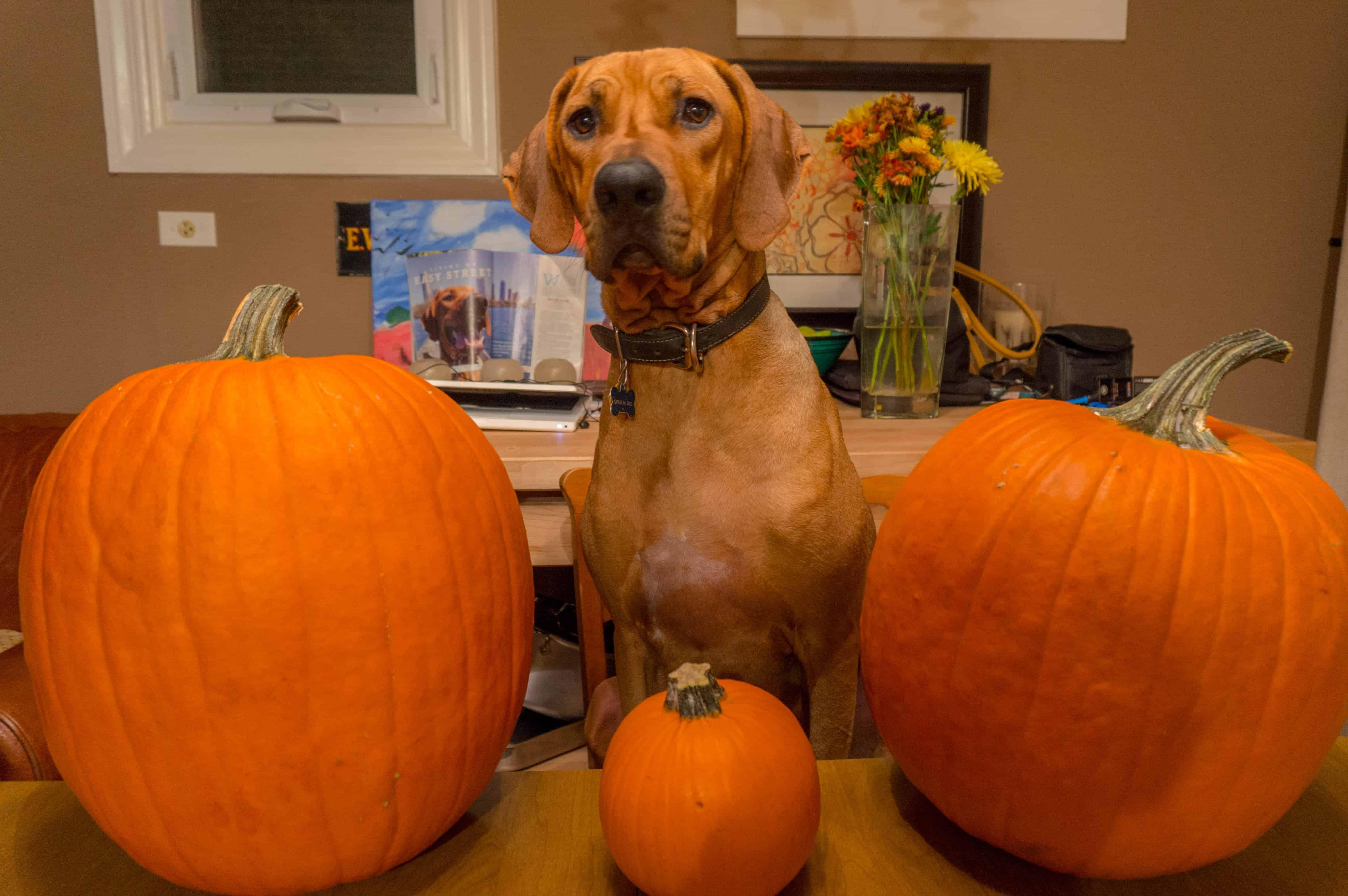 Rhodesian Ridgeback, adventure, pumpkin, dogs, marking our territory, chicago