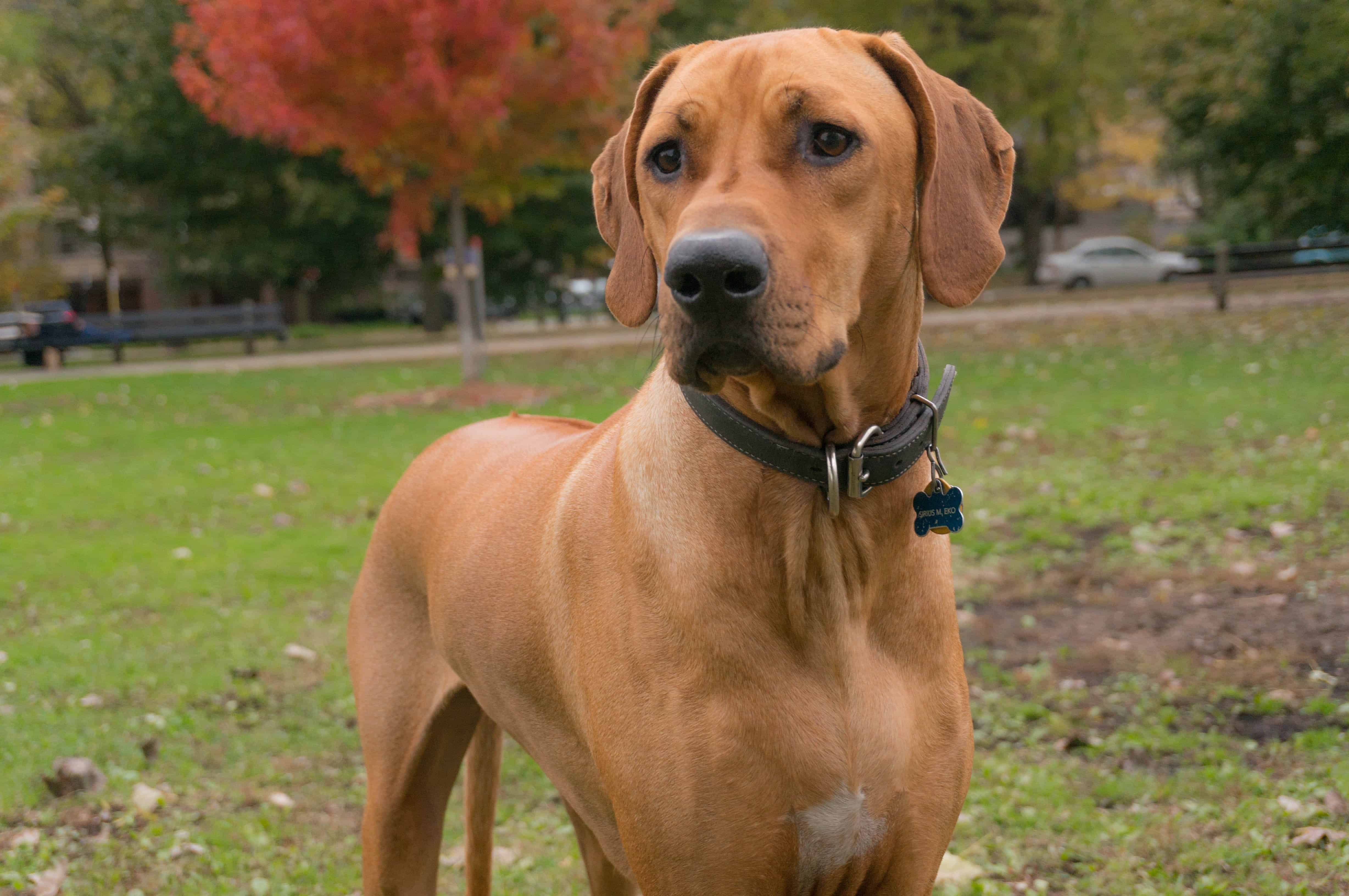 Rhodesian Ridgeback, adventure, marking our territory