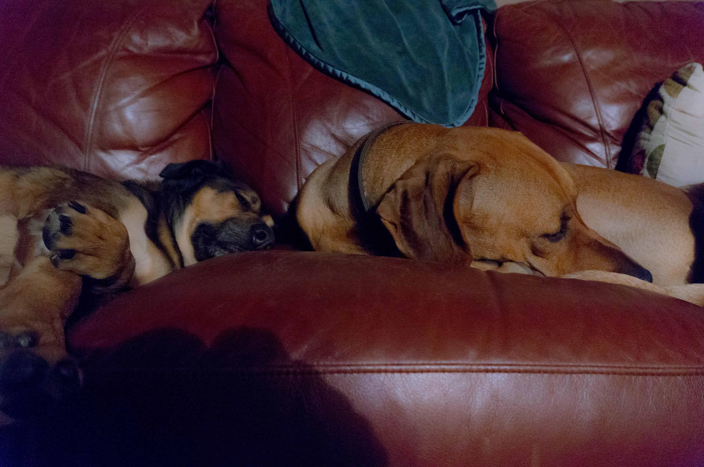 Rhodesian Ridgeback, dogs, adventure, chicago, dog friendly, pet friendly, marking our territory, petcentric, eko