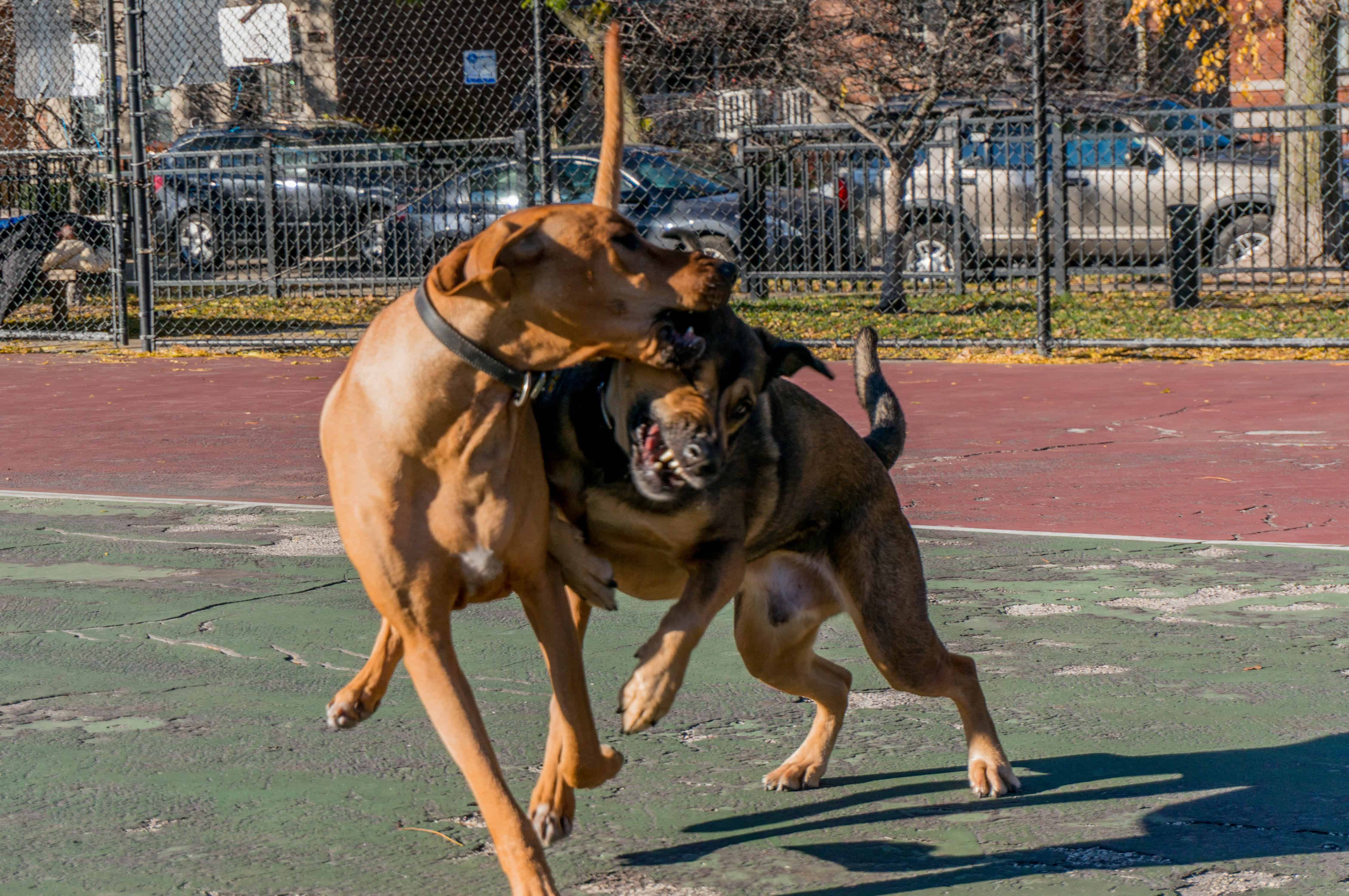 Rhodesian Ridgeback, adventure, chicago, dogs, marking our territory, petcentric