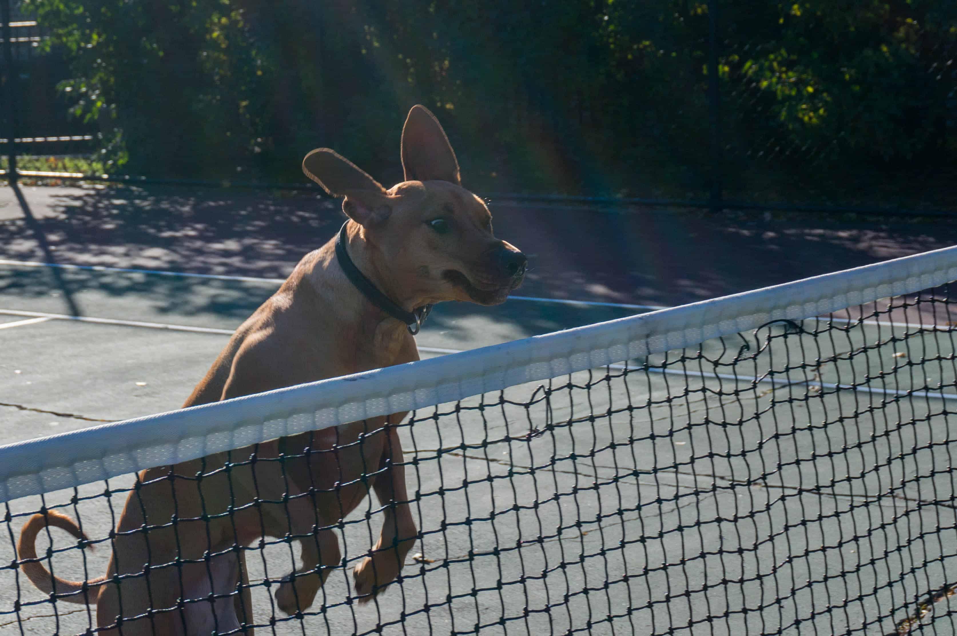 Rhodesian Ridgeback, dogs,  adventure, marking our territory, chicago, blog