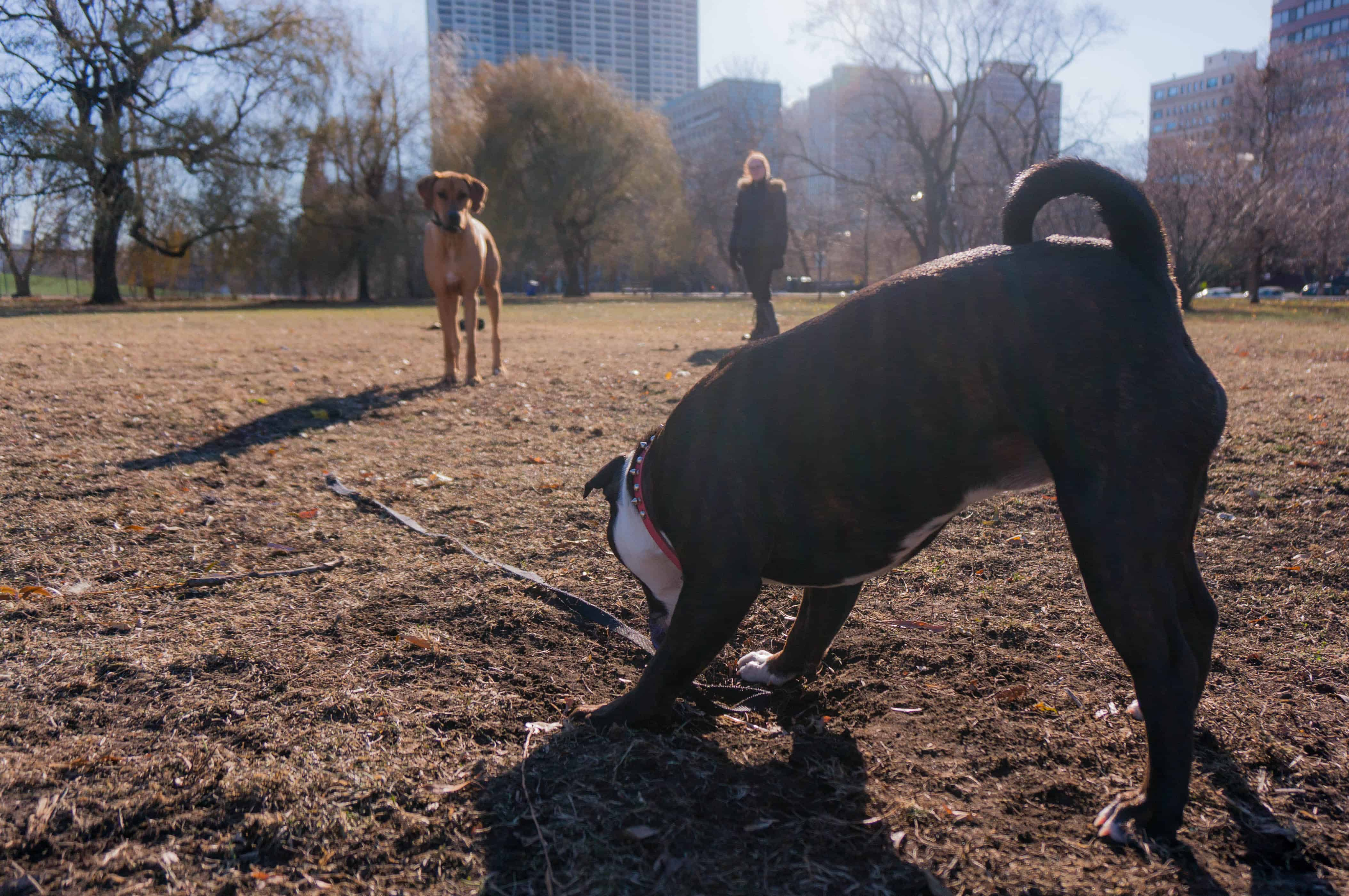 Rhodesian Ridgeback, dog blog, adventure, marking our territory, chicago, dogs, dog friendly