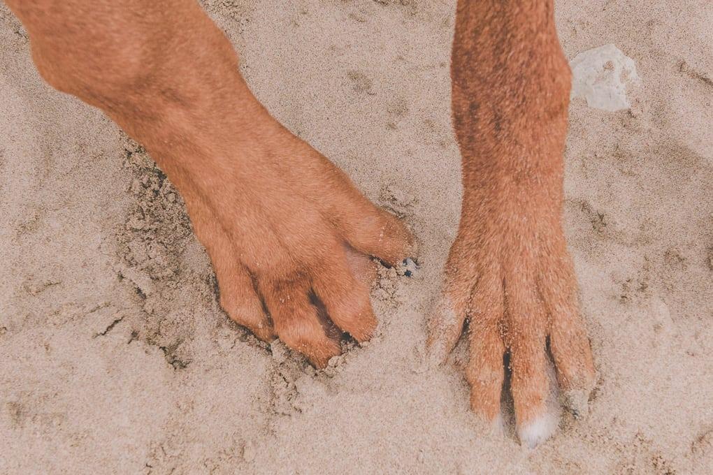 Rhodesian Ridgeback, puppy, Montrose Dog Beach, Chicago, Marking Our Territory