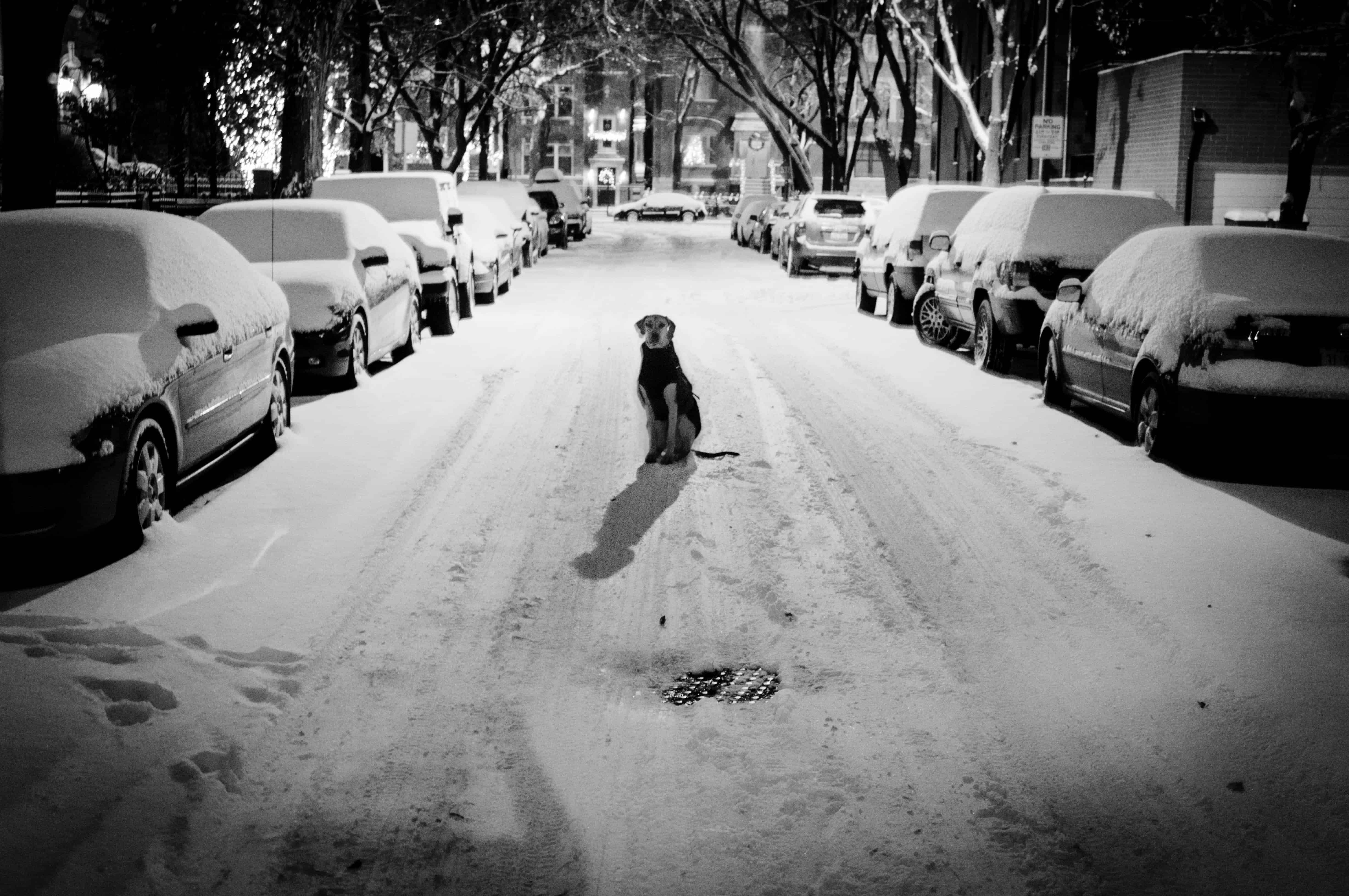 Rhodesian Ridgeback, dog blog, adventure, chicago, snow, petcentric, marking our territory