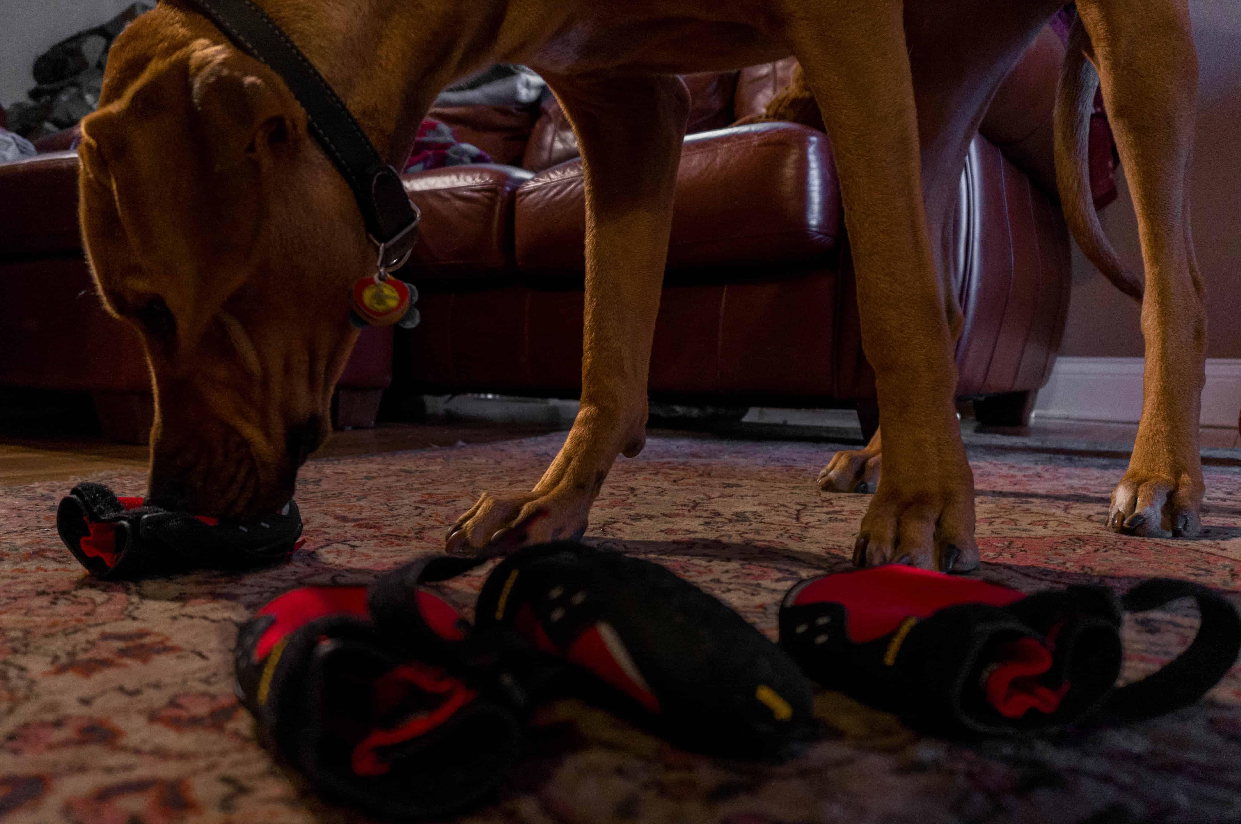 Rhodesian Ridgeback, adventure, dog blog, dogs, photos, pets, adventure, chicago, winter, dog boots