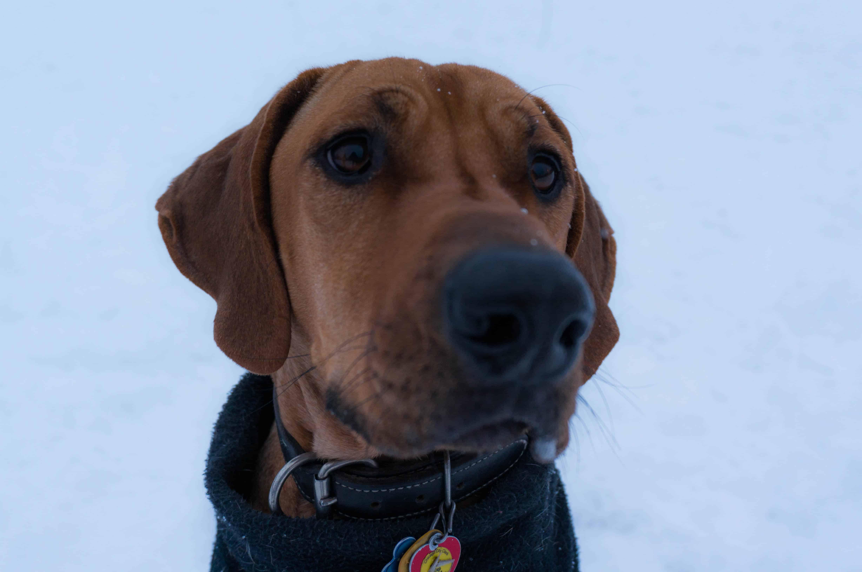 Rhodesian Ridgeback, marking our territory, dog blog, adventure, chicago, winter