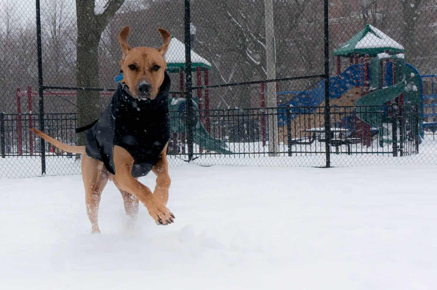 Rhodesian Ridgeback, marking our territory, dog blog, adventure, chicago, dogs, snow, winter