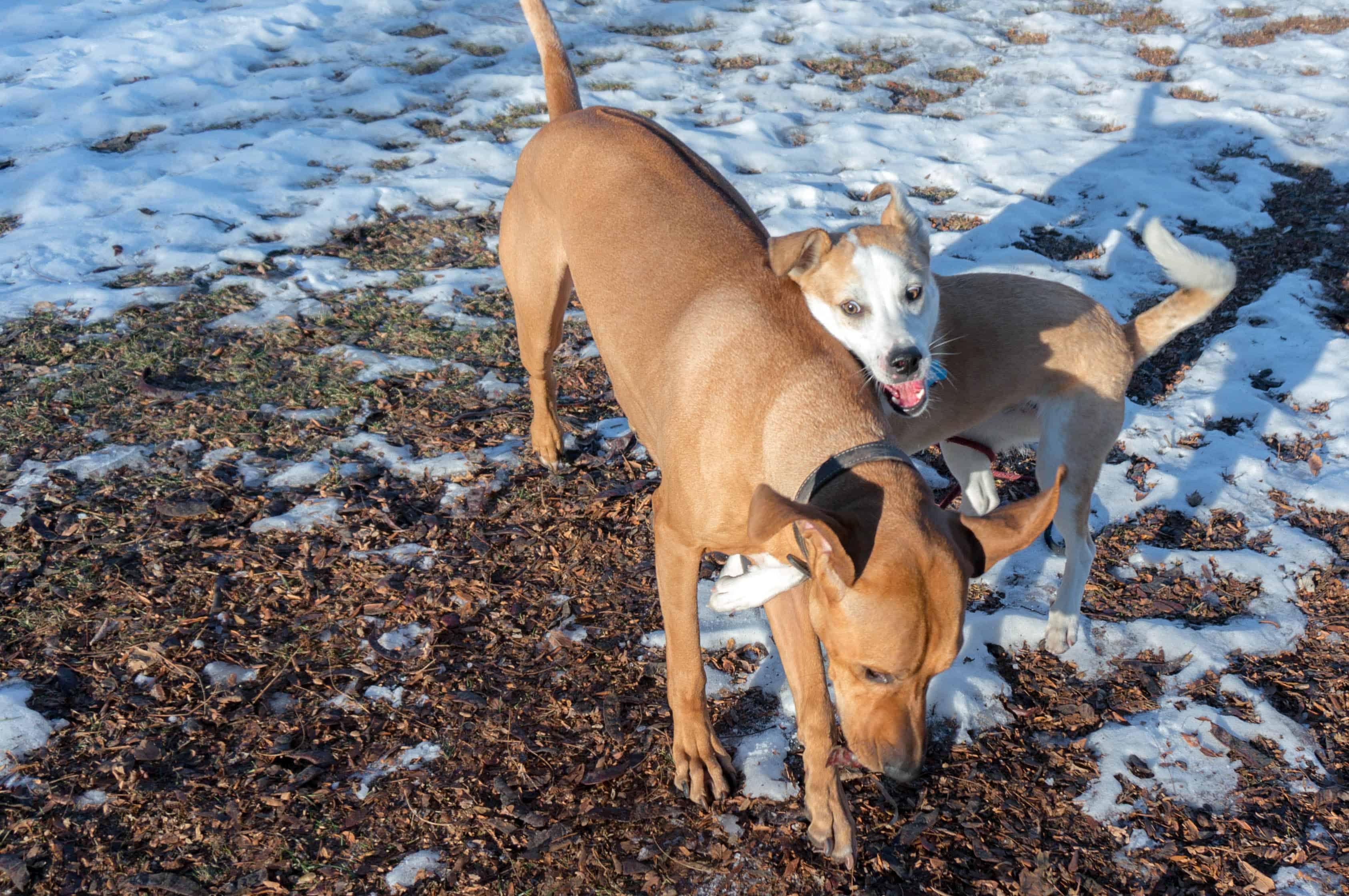Rhodesian Ridgeback, marking our territory, adventure, dog blog, dogs, chicago
