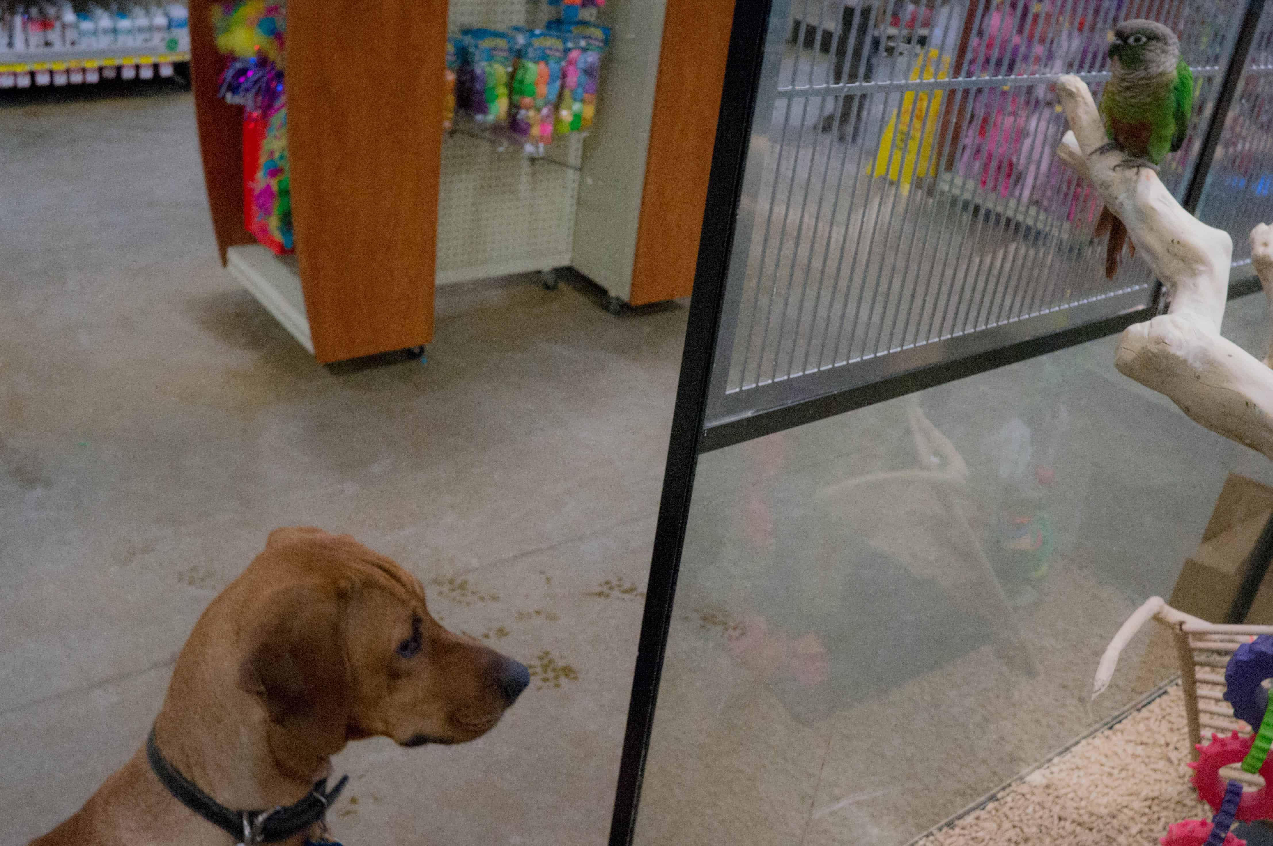 rhodesian ridgeback, dog blog, marking our territory, pet store, adventure,