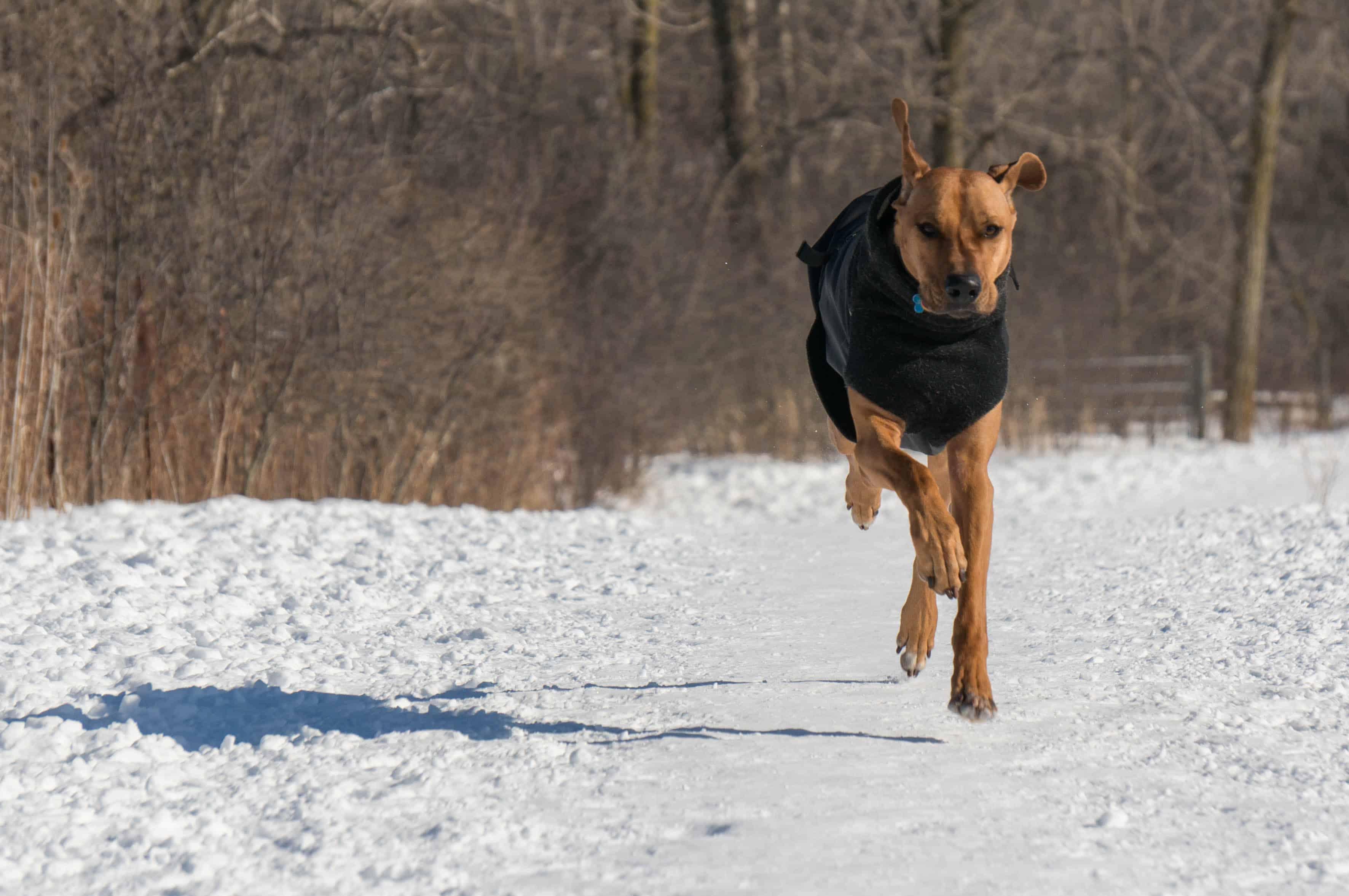 Rhodesian Ridgeback, adventure, dog blog, marking our territory, chicago,