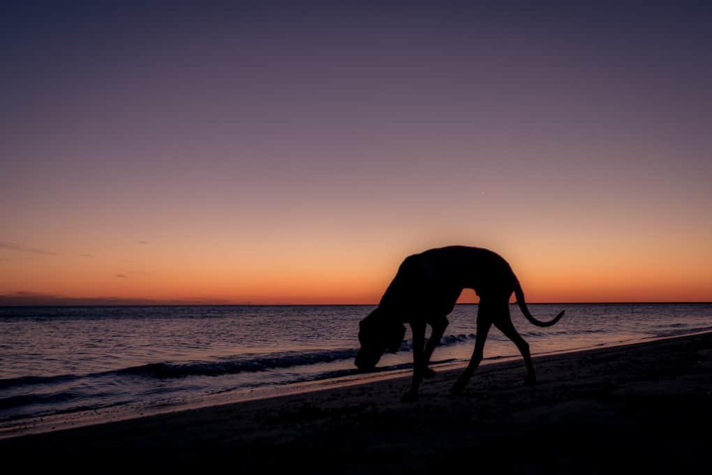 Rhodesian Ridgeback, Montrose Dog Beach, Chicago, Marking Our Territory