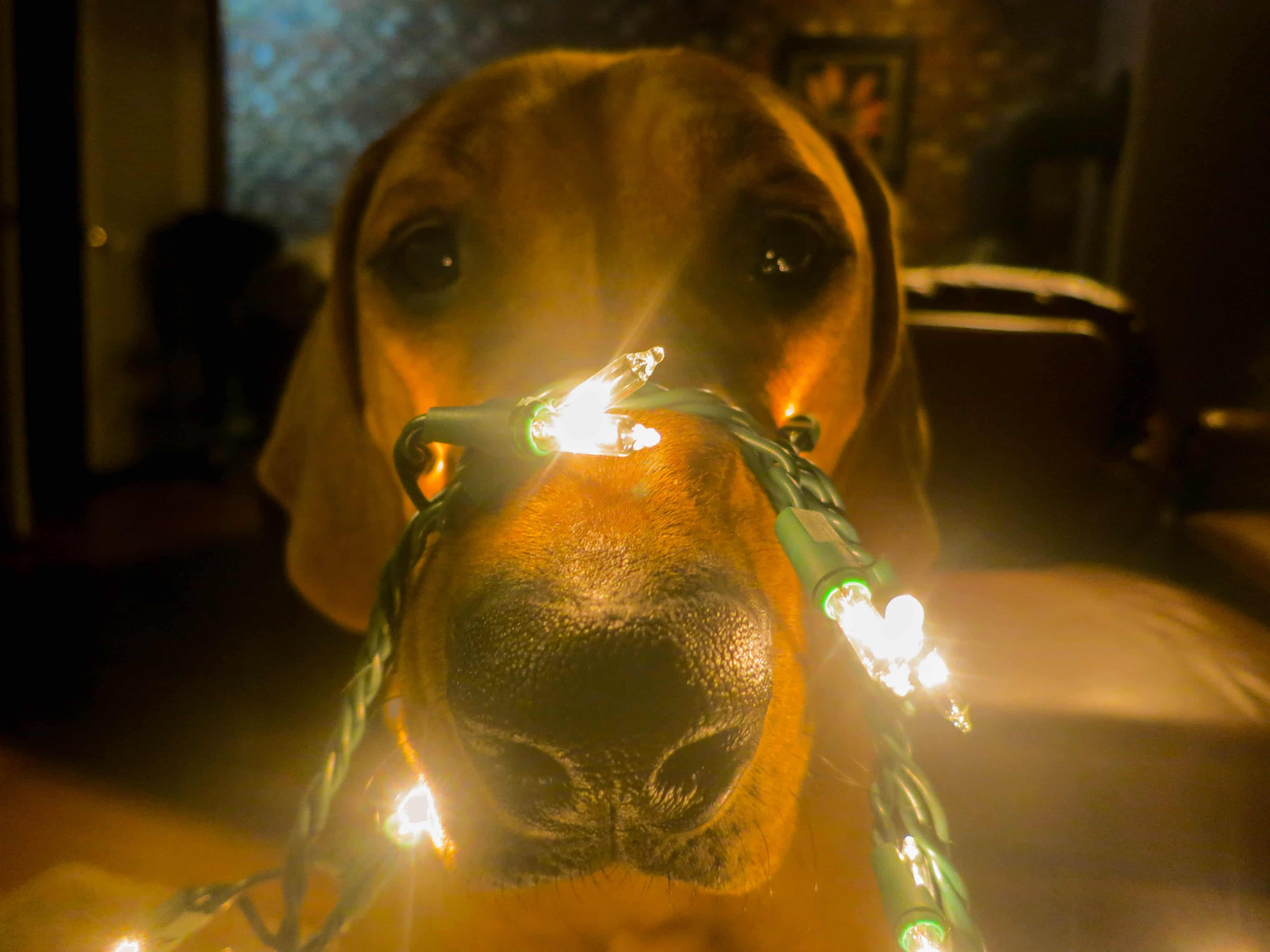 Rhodesian Ridgeback, christmas, pet adventure